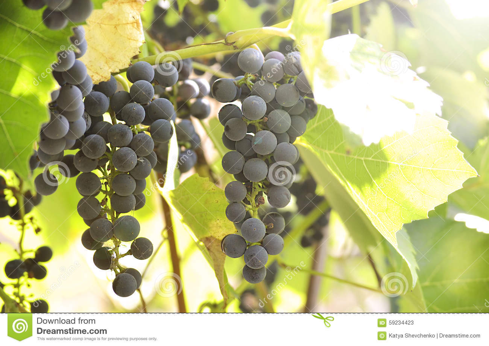 Download Manojo de uvas imagen de archivo. Imagen de vendimia - 59234423