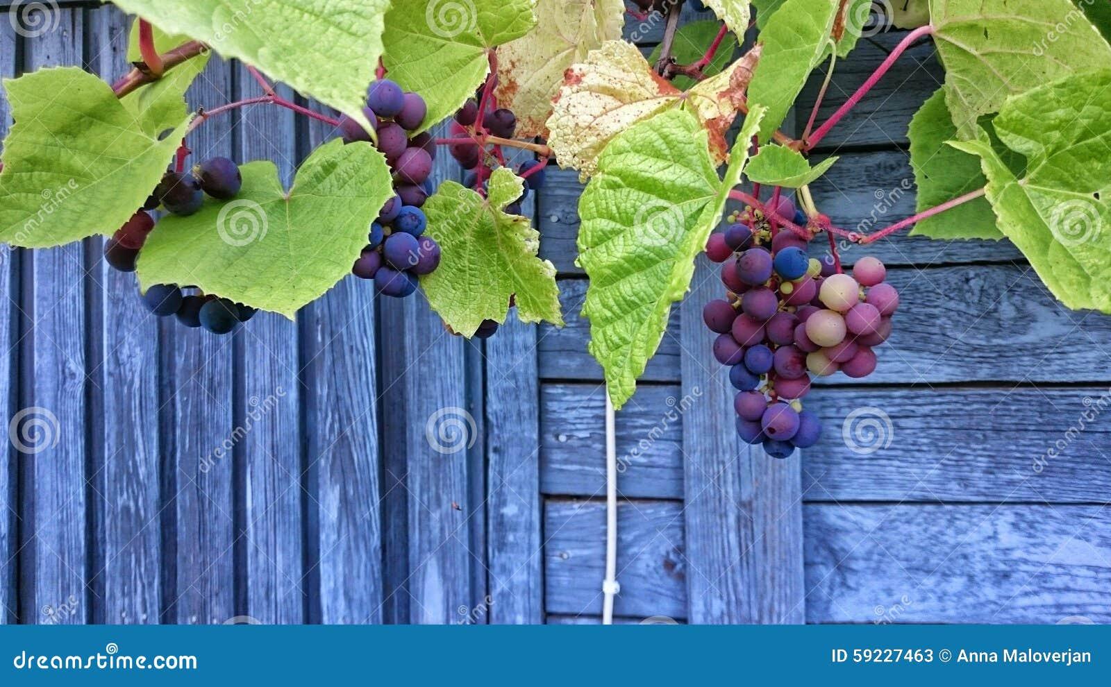 Download Manojo De Uvas Con Las Hojas Verdes Imagen de archivo - Imagen de hoja, travieso: 59227463
