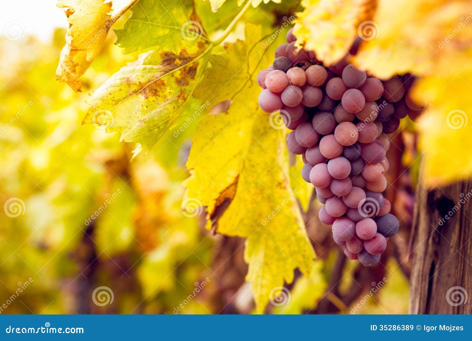 Manojo de uvas de vino rojo