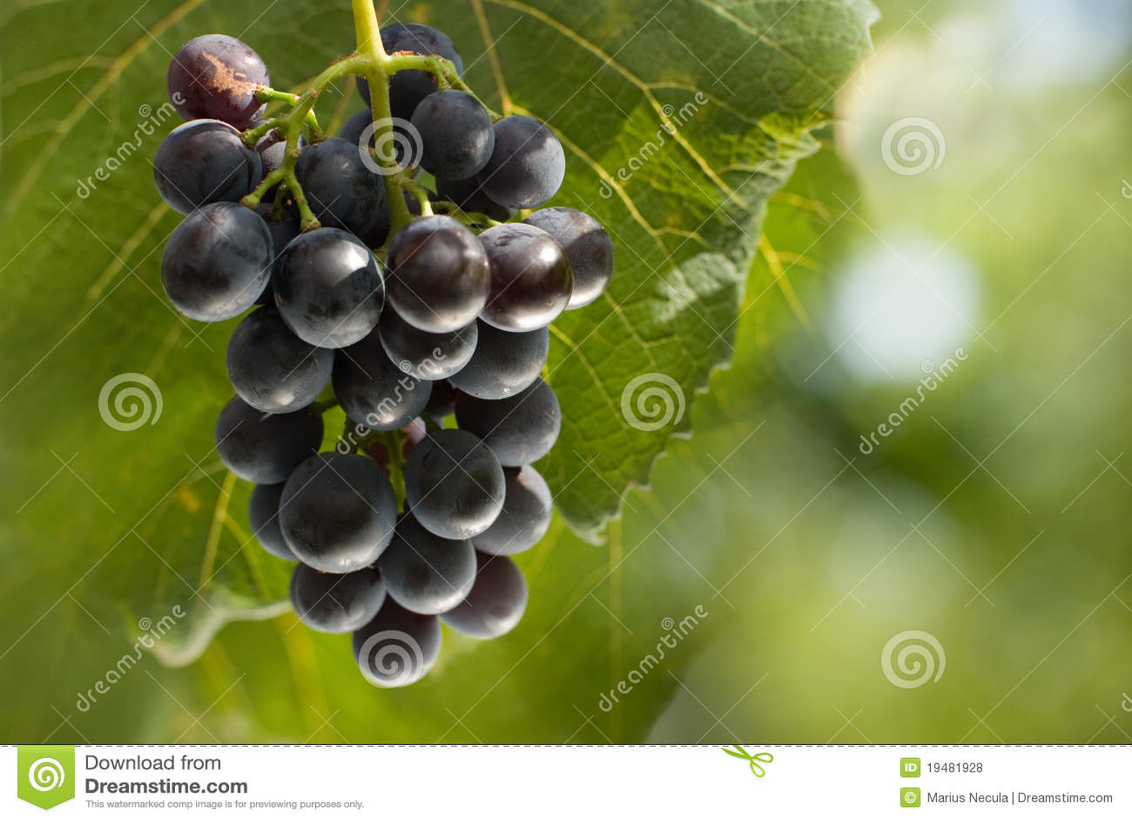 Manojo de uvas en viñedo