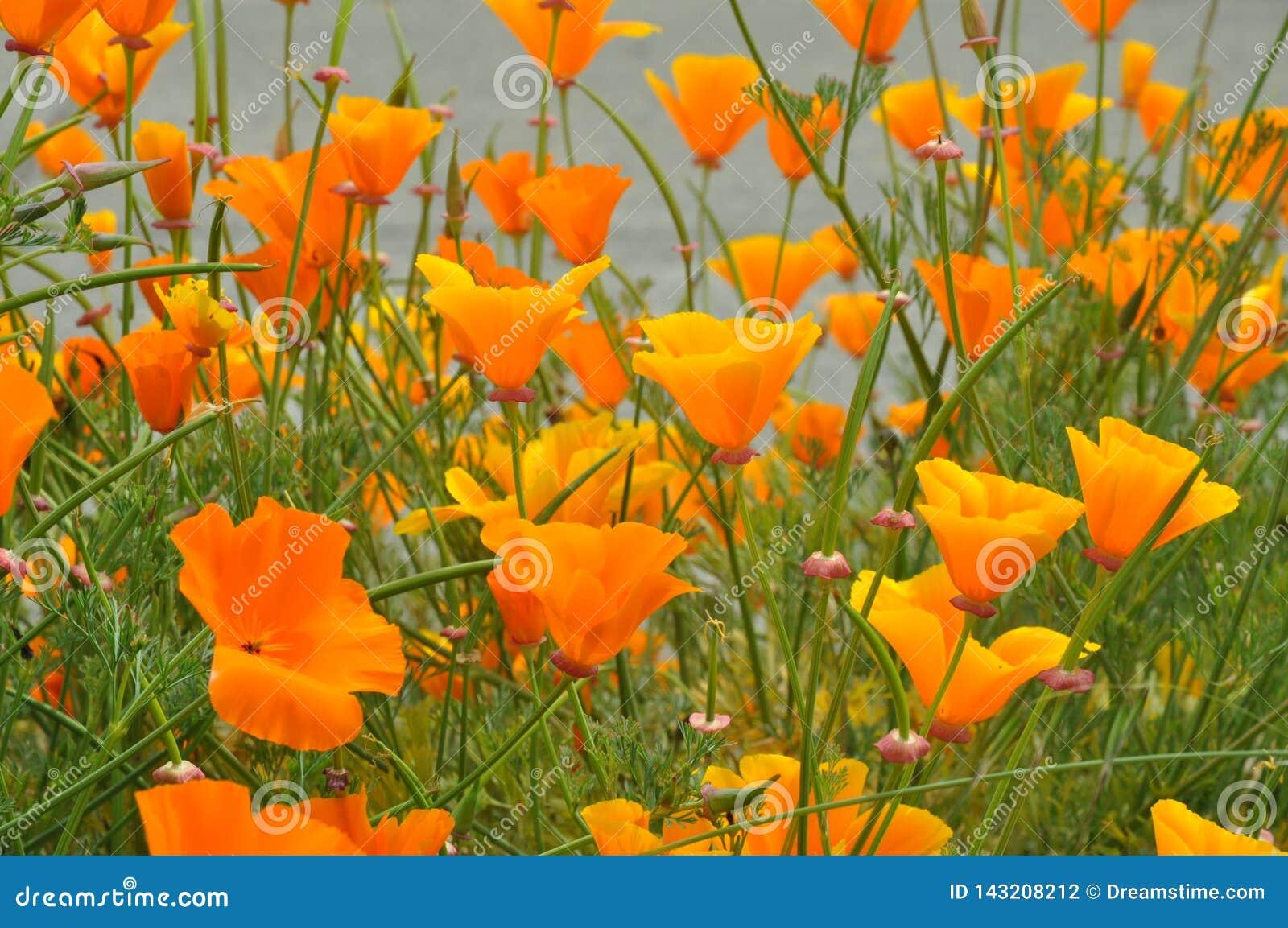 Manojos de borde de la carretera floreciente de las amapolas de California
