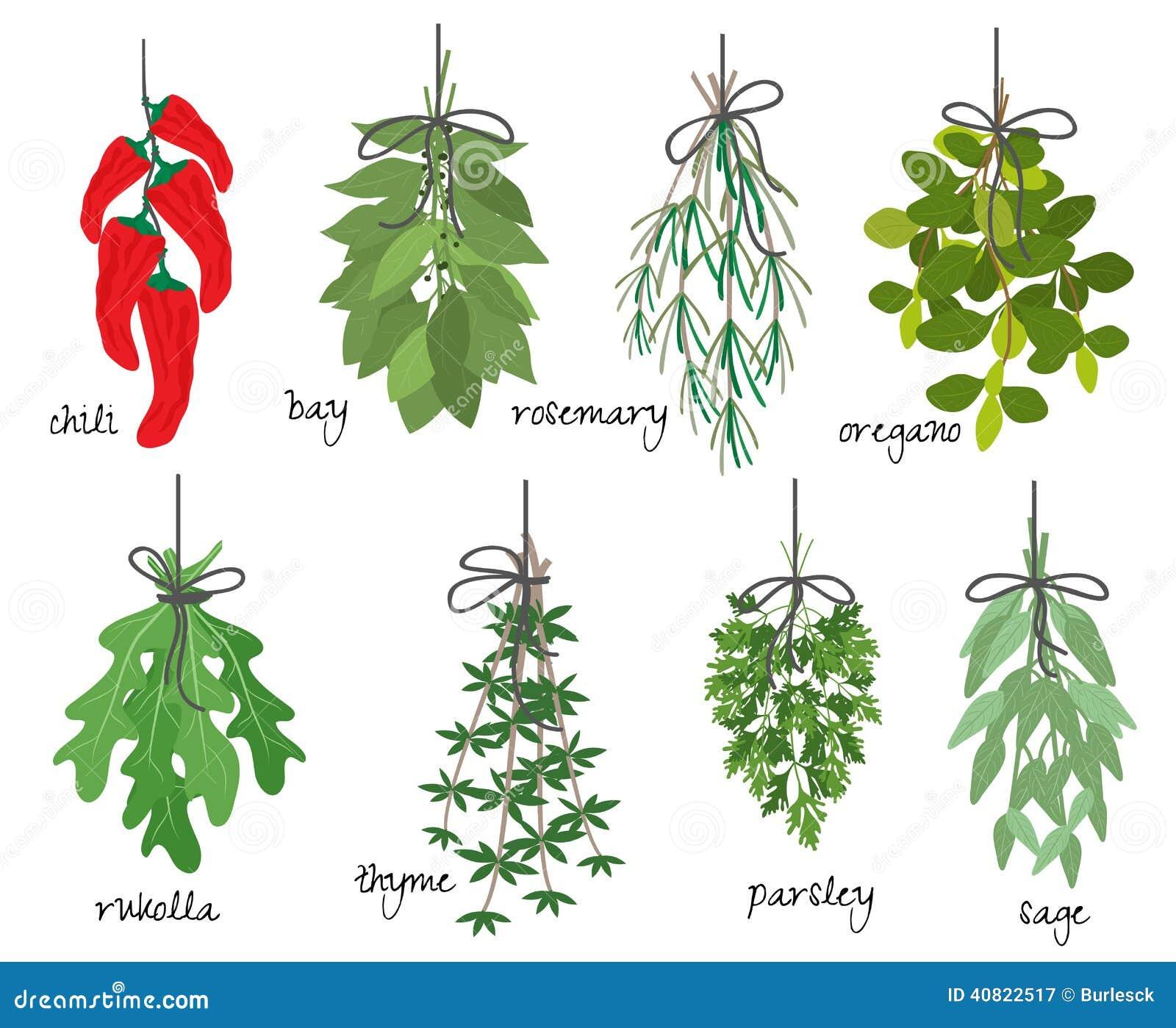 Manojos de hierbas arom ticas medicinales ilustraci n del for Hierbas aromaticas y medicinales