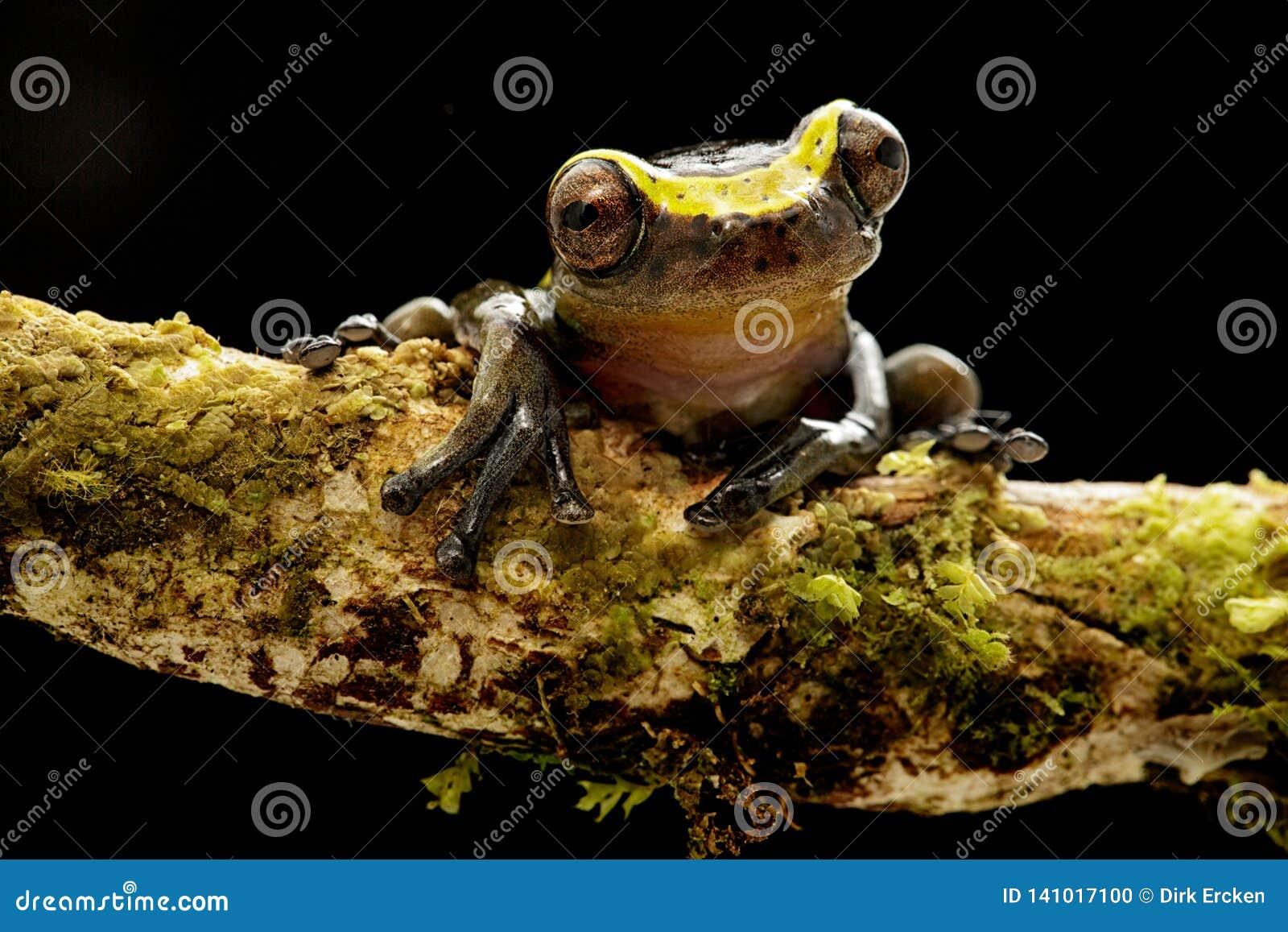 Manonegra curioso engraçado do dendropsophus da rã de árvore um treefrog pequeno