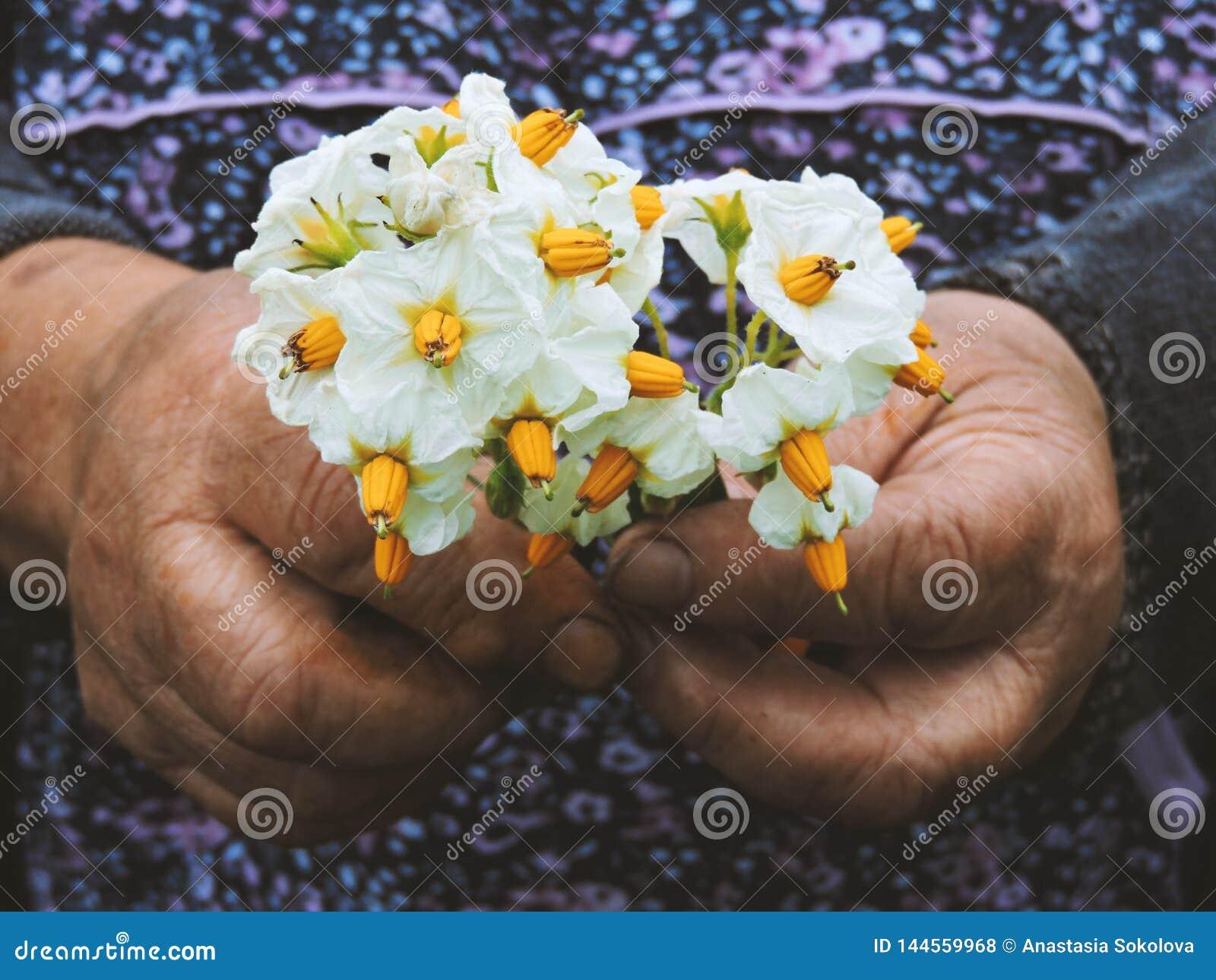 Manos de los jardineros que plantan las flores Mano que sostiene la pequeña flor en el jardín Flores de la patata de la tenencia