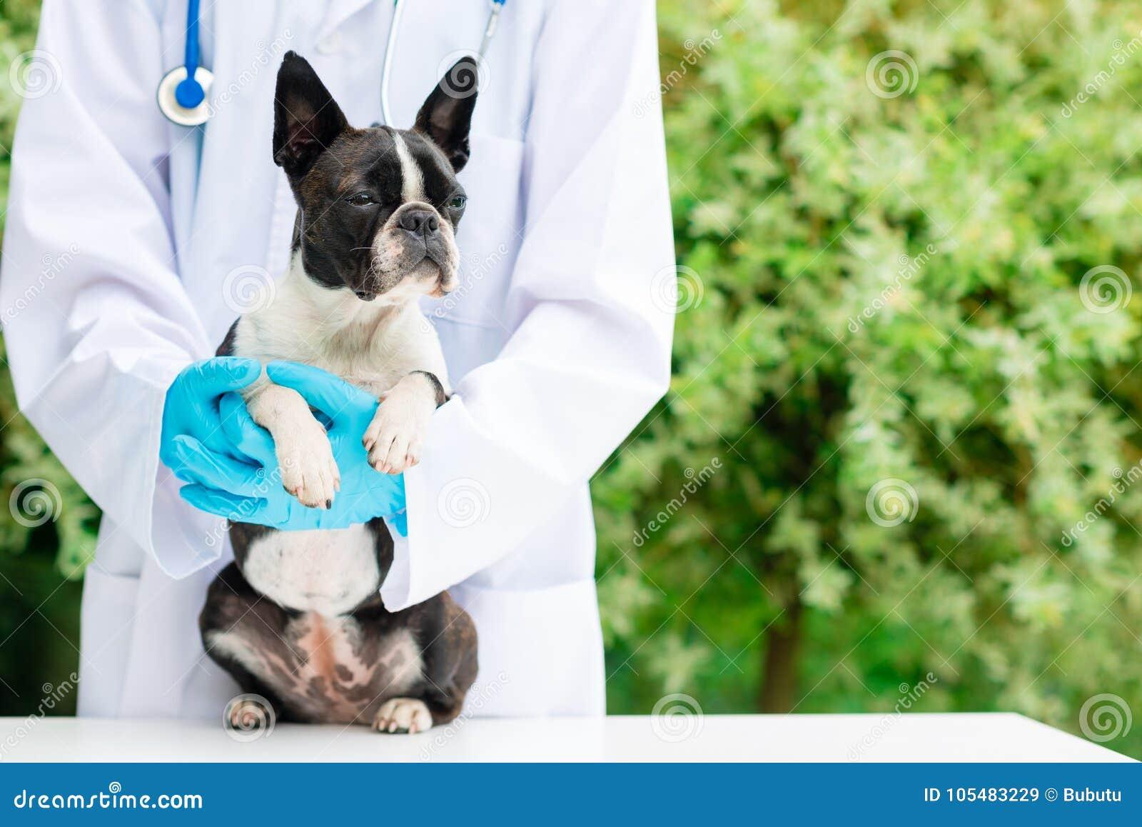 Manos del veterinario que sostienen un perro
