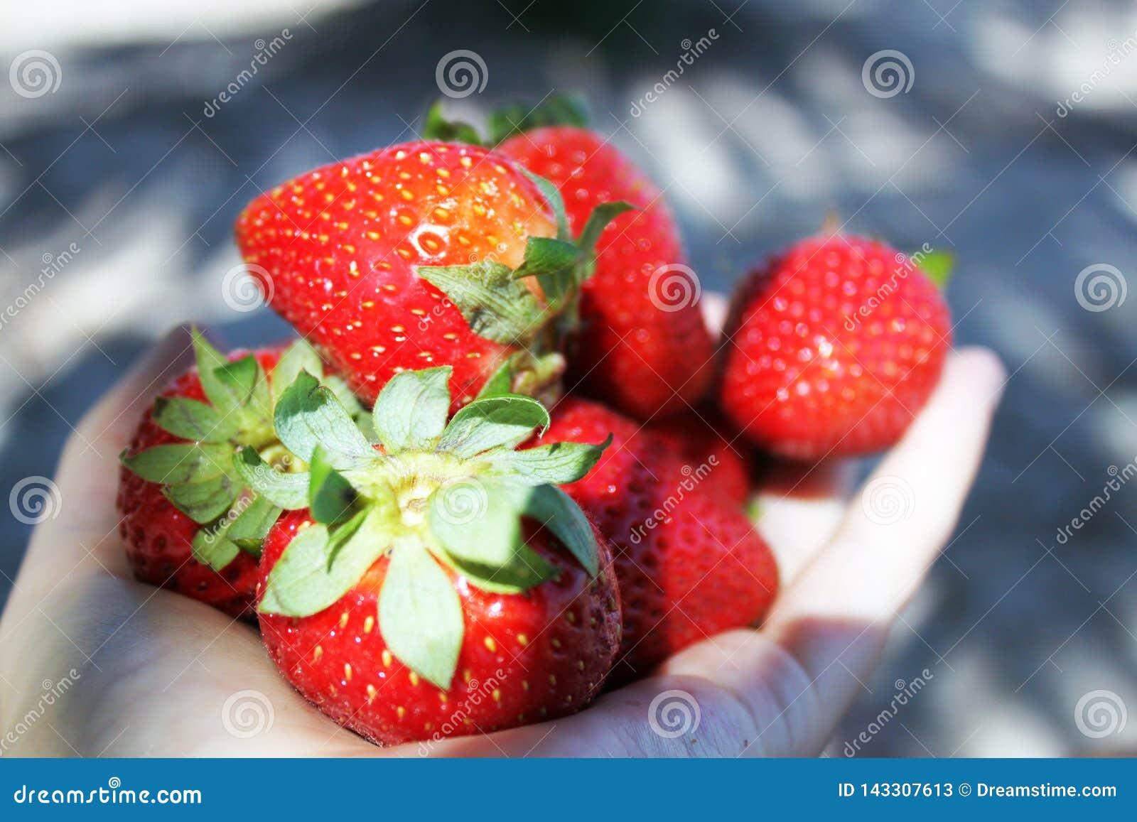 Manos llenas de fresas jugosas