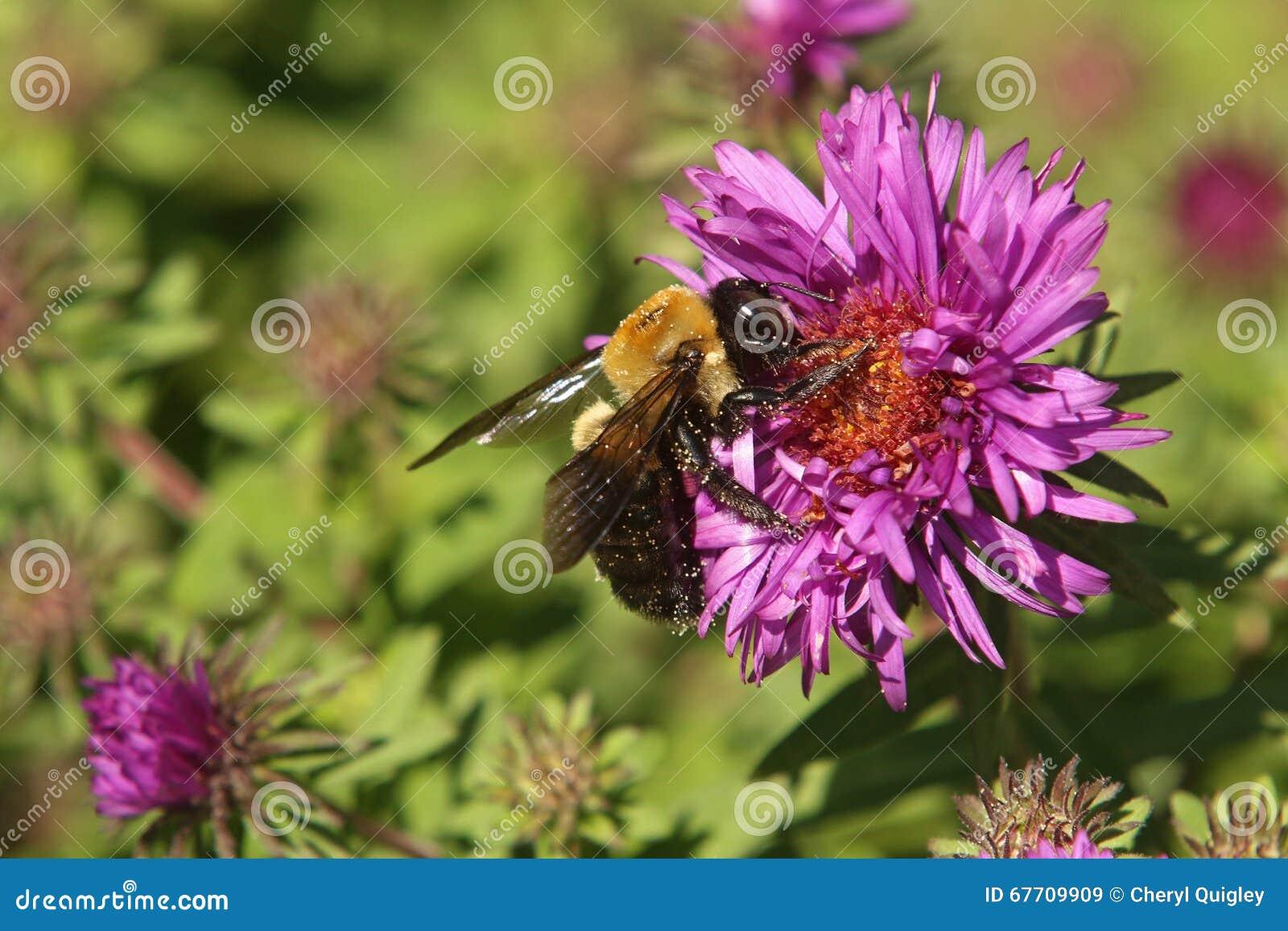 Manosee la abeja en el aster de Nueva Inglaterra