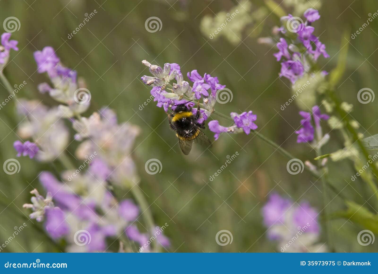 Manosee la abeja que busca el polen o el néctar