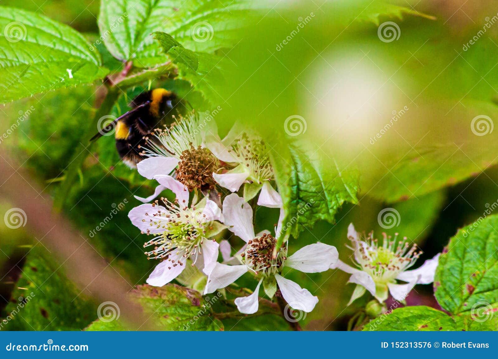 Manosee la abeja que recoge el néctar en un arbusto de zarzamora