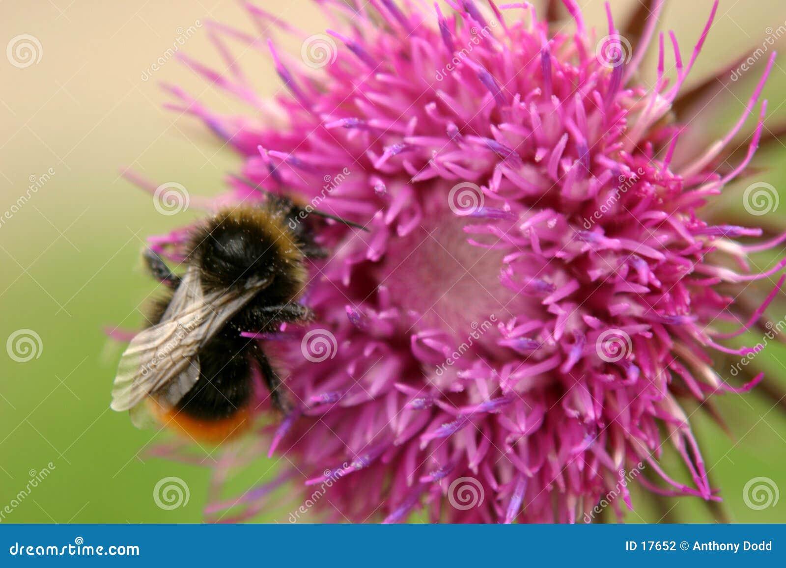Manosee la abeja y el cardo