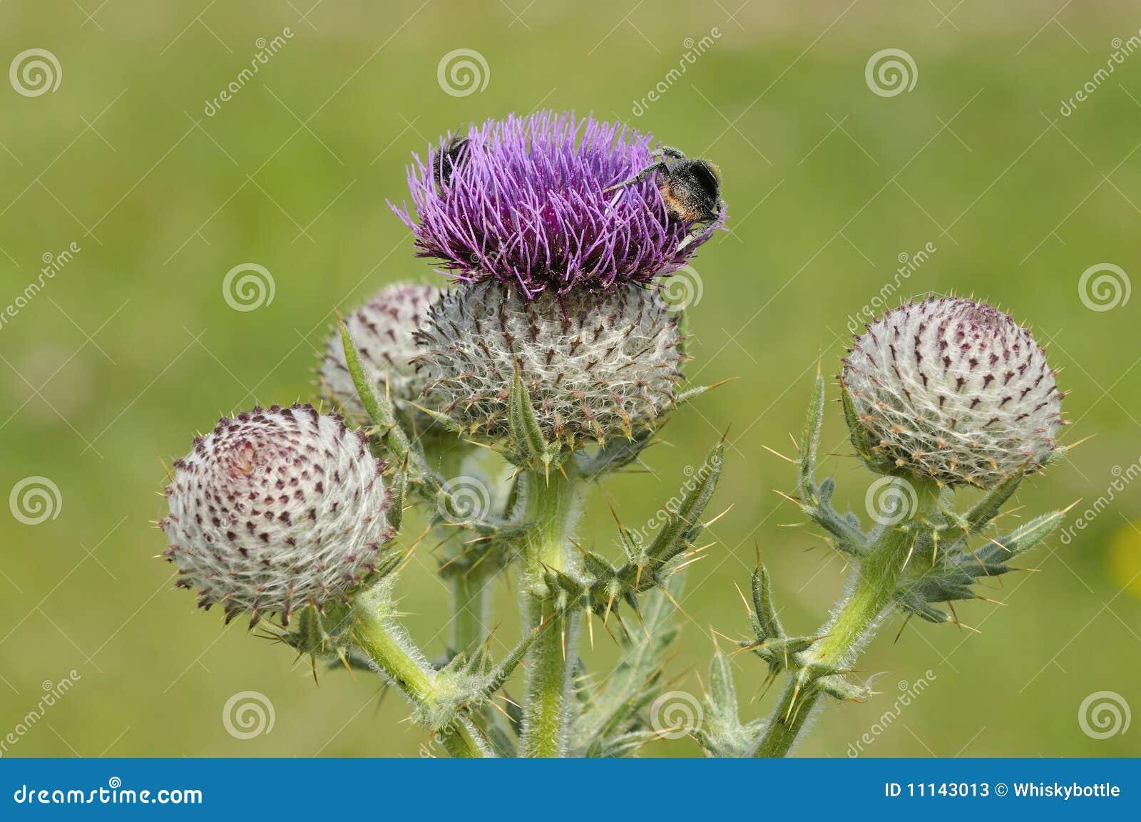 Manosee las abejas en cardo lanoso