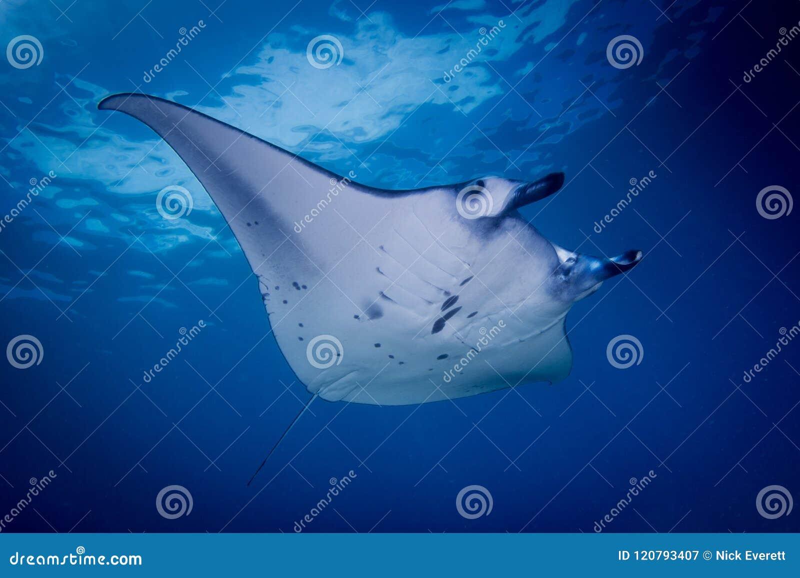 A Manta ray - Manta alfredi