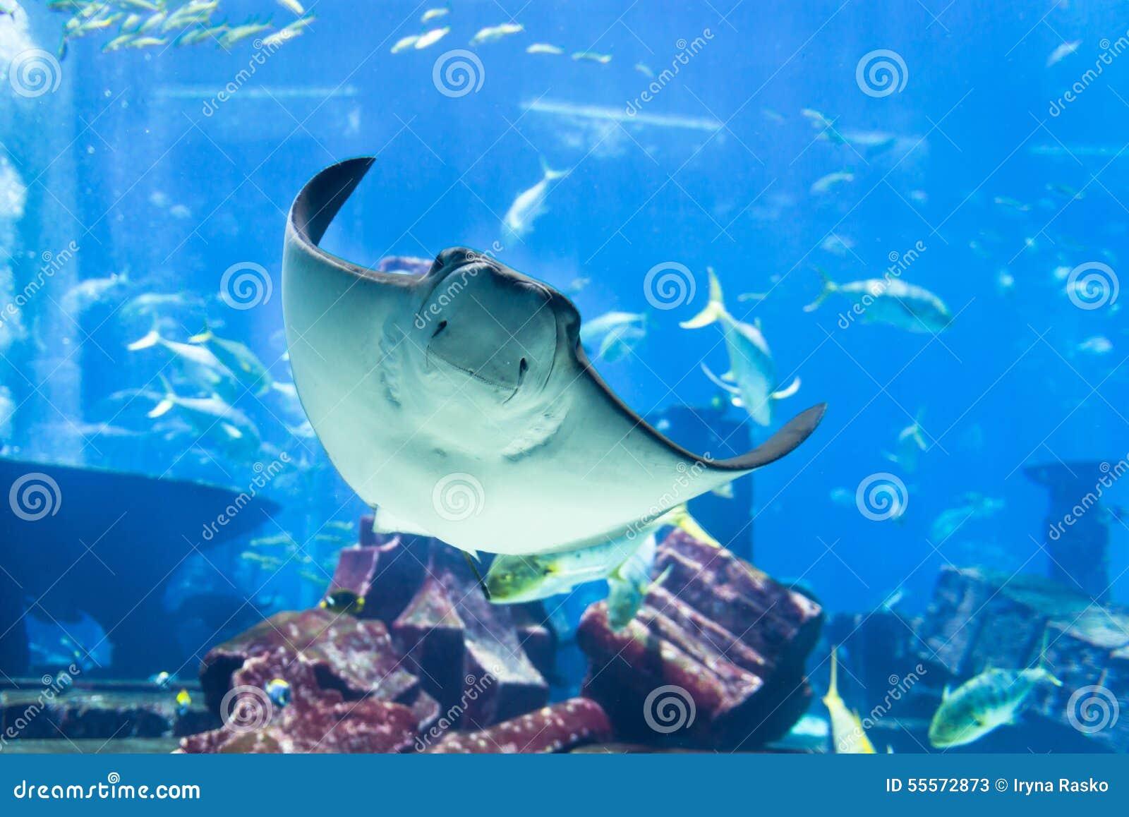 Manta Ray Poses para o retrato no aquário público