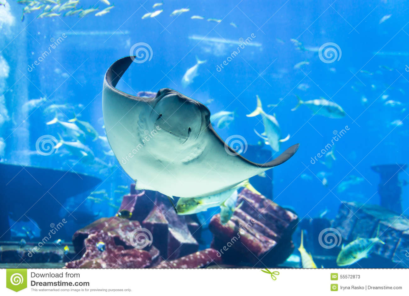 Manta Ray Poses for Portrait at Public Aquarium