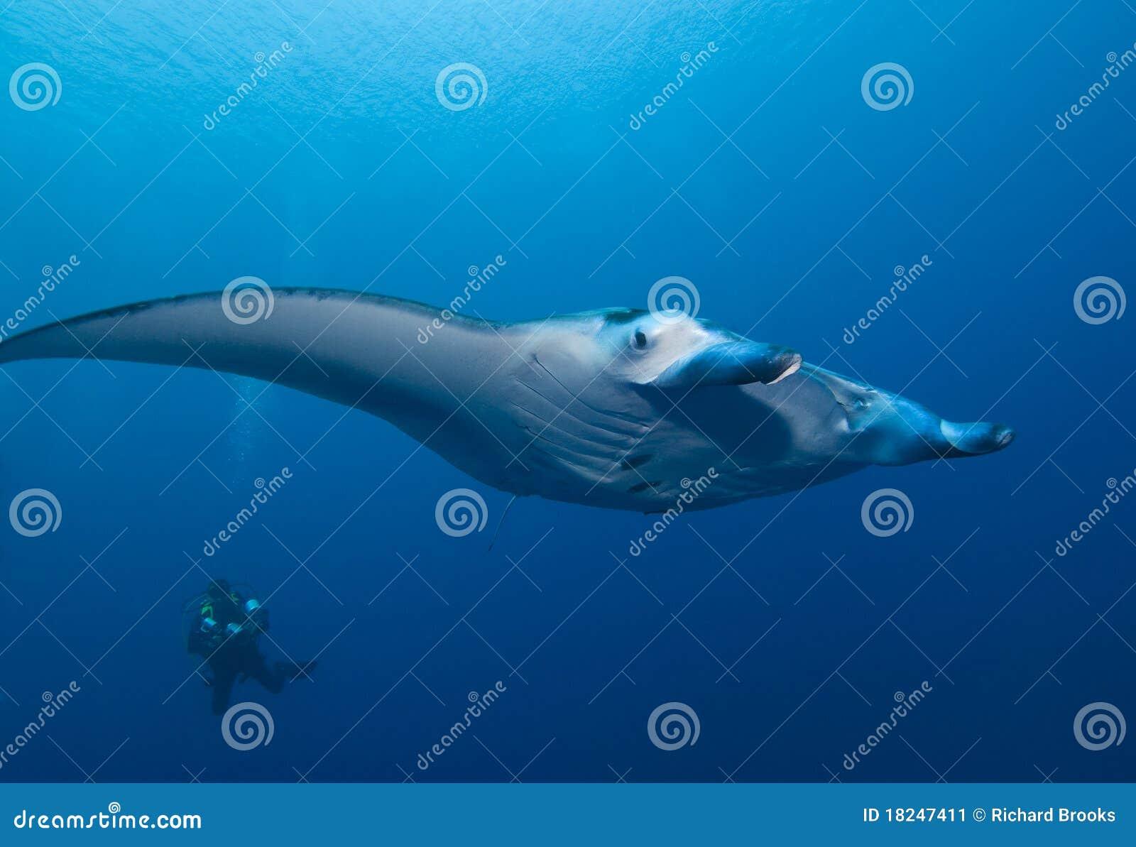 Download Manta Ray and SCUBA Diver stock image. Image of manta - 18247411