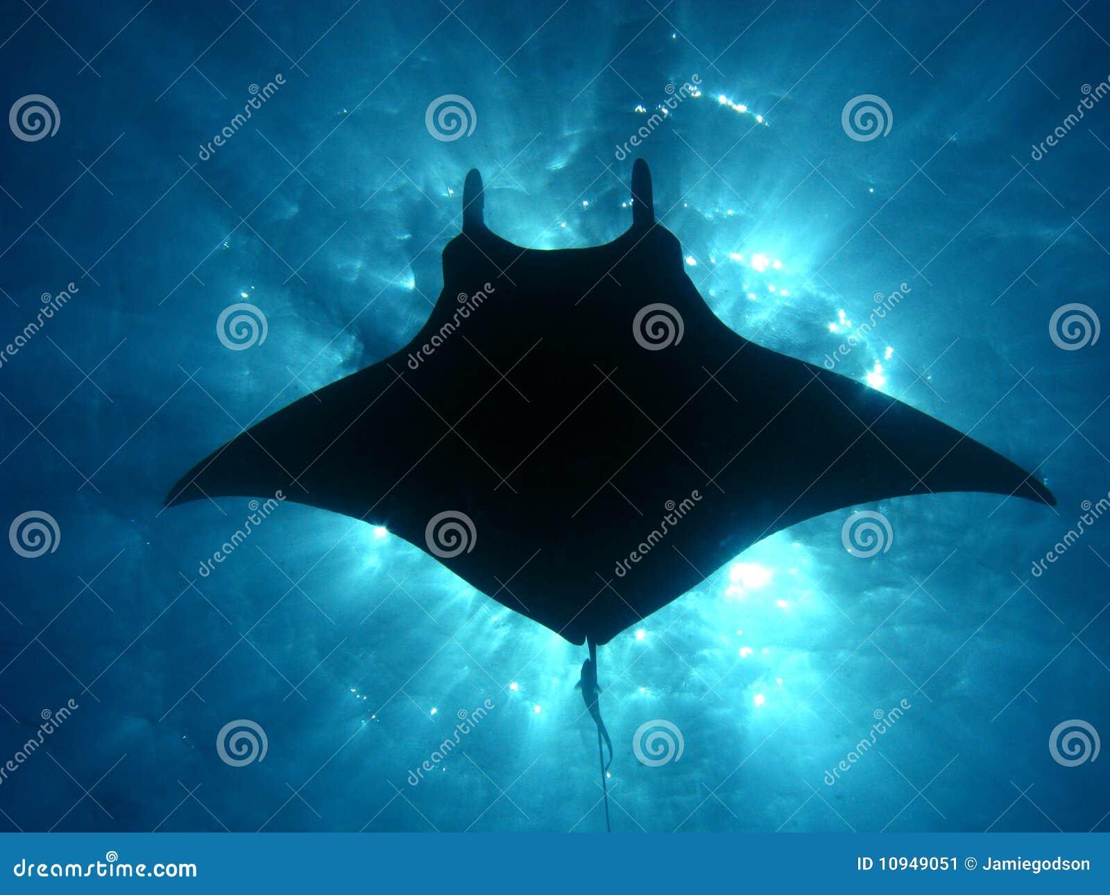 Download Manta ray sunburst stock image. Image of flying, light - 10949051