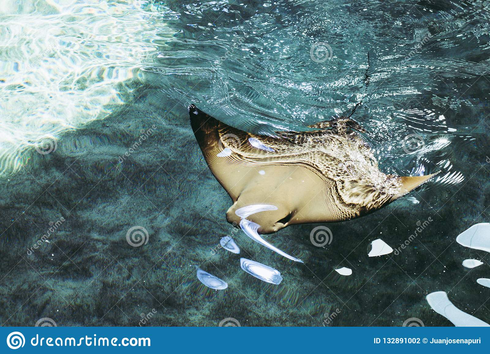 Manta Ray swimming on the blue clear water.