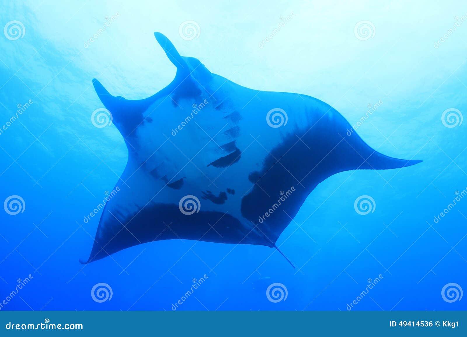 Download Mantarochen Bei Socorro Island, Mexiko Stockfoto - Bild von flossen, huge: 49414536