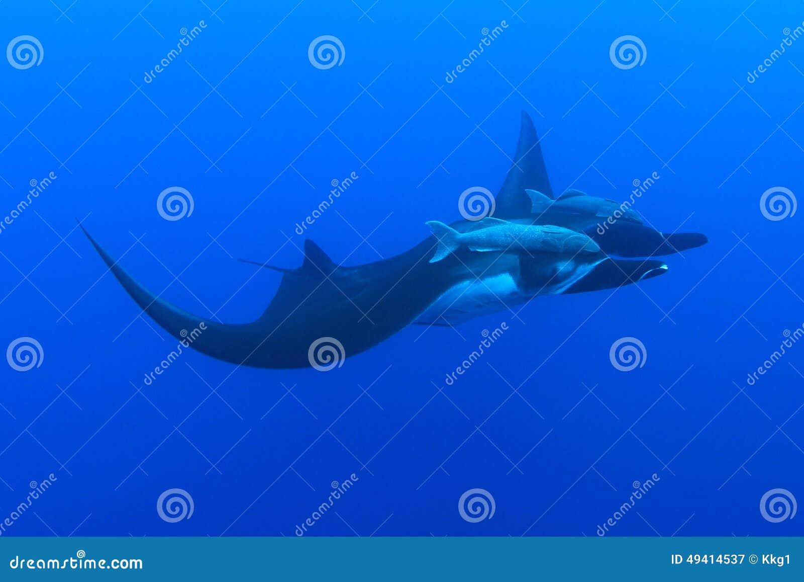 Download Mantarochen Bei Socorro Island, Mexiko Stockbild - Bild von führen, atlantisch: 49414537