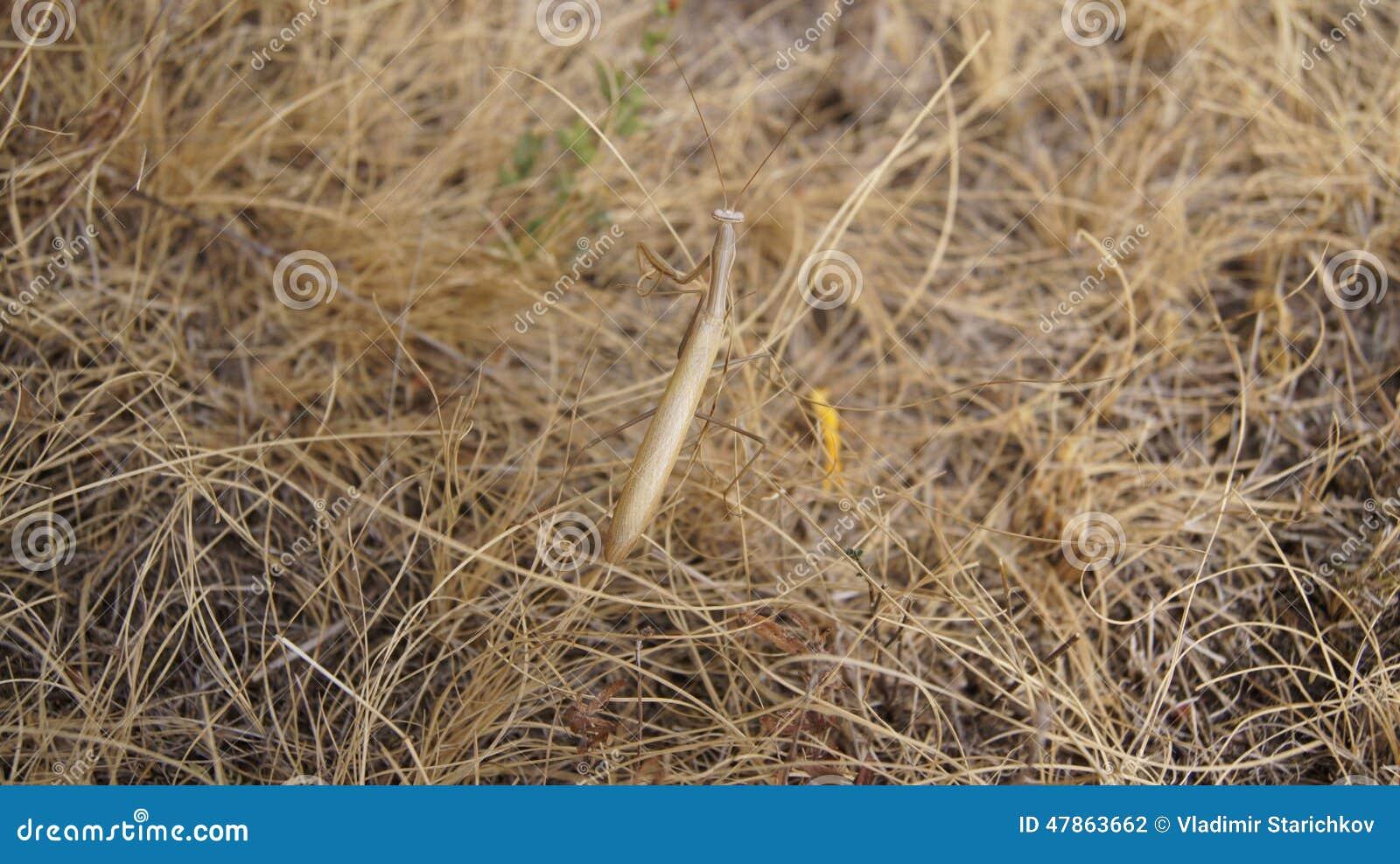 Mante de prière sur l herbe sèche
