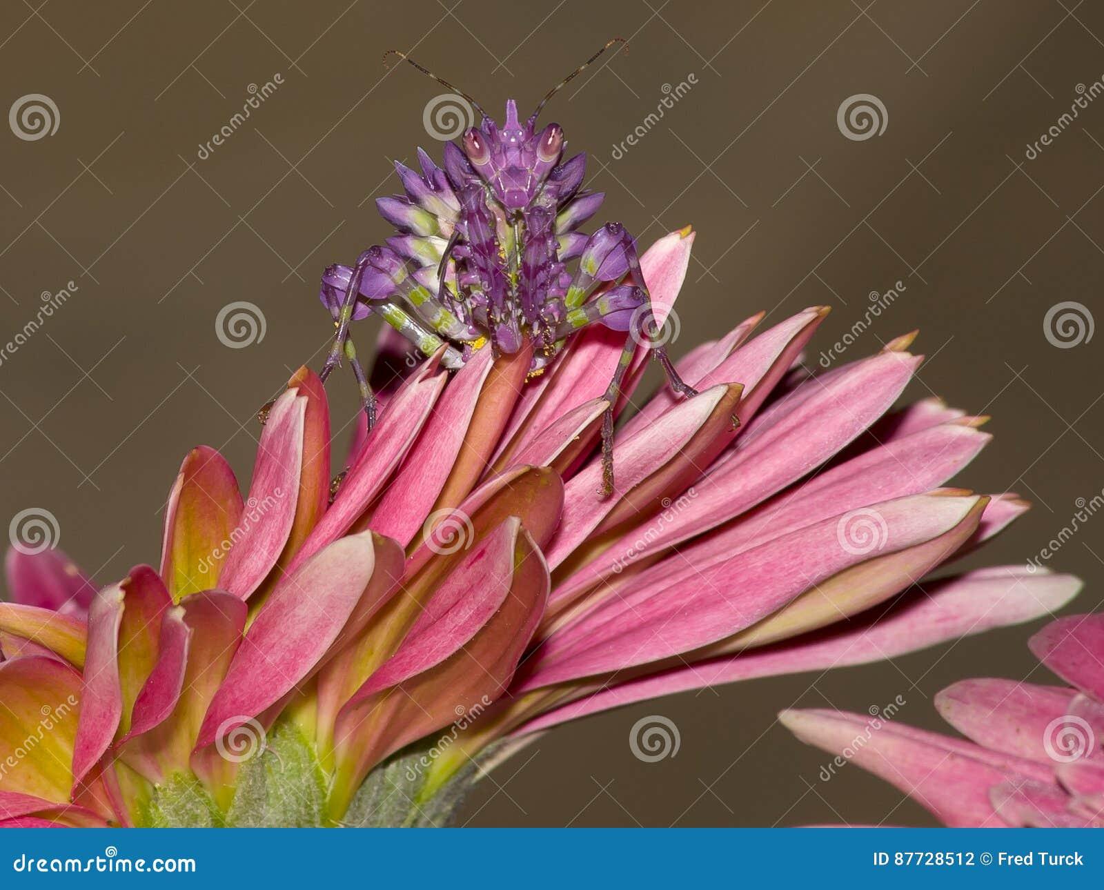 Mante de prière sur la fleur