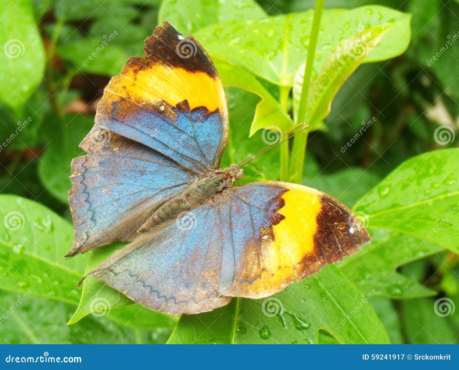 Download Mantequilla imagen de archivo. Imagen de ornitología - 59241917