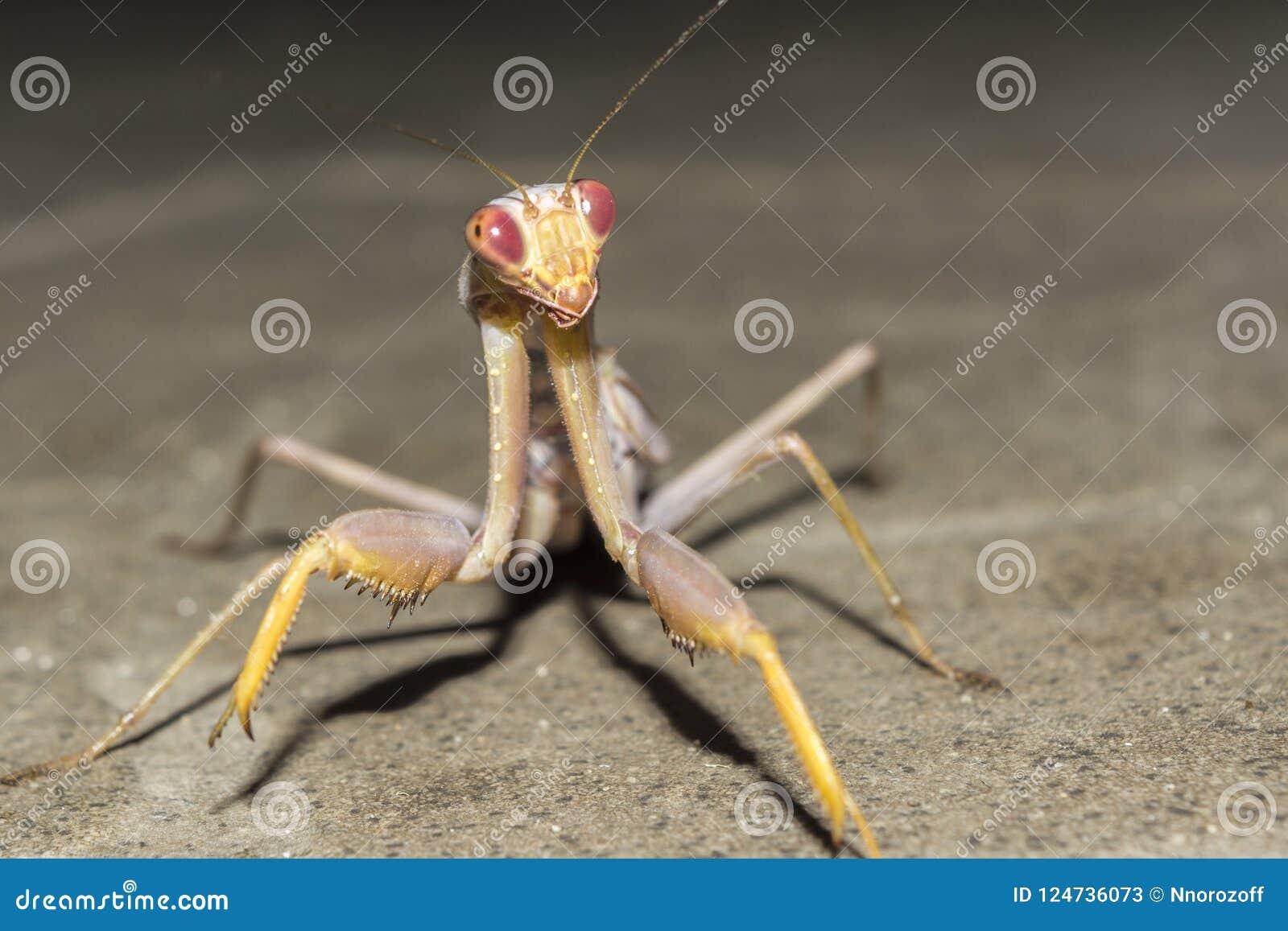 Mantis εντόμων τη νύχτα, άγριο υπόβαθρο φύσης κινηματογραφήσεων σε πρώτο πλάνο