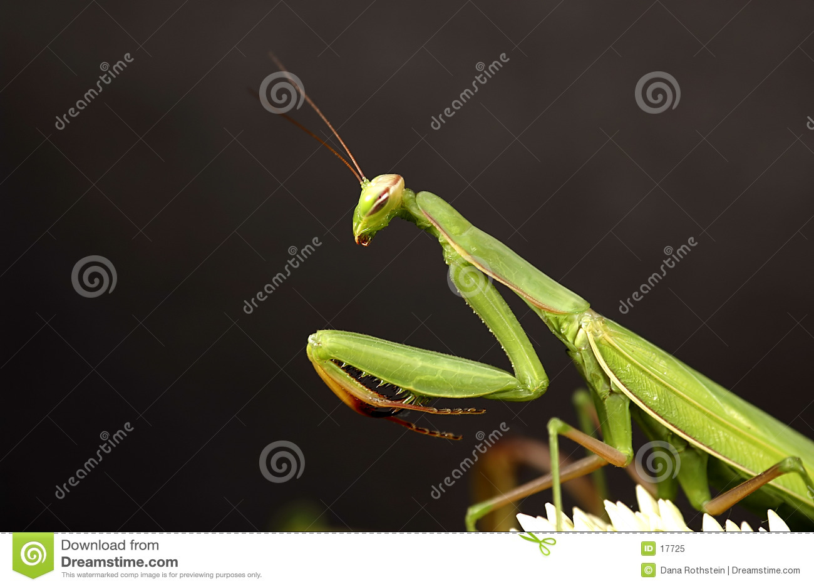 Mantis хищничая