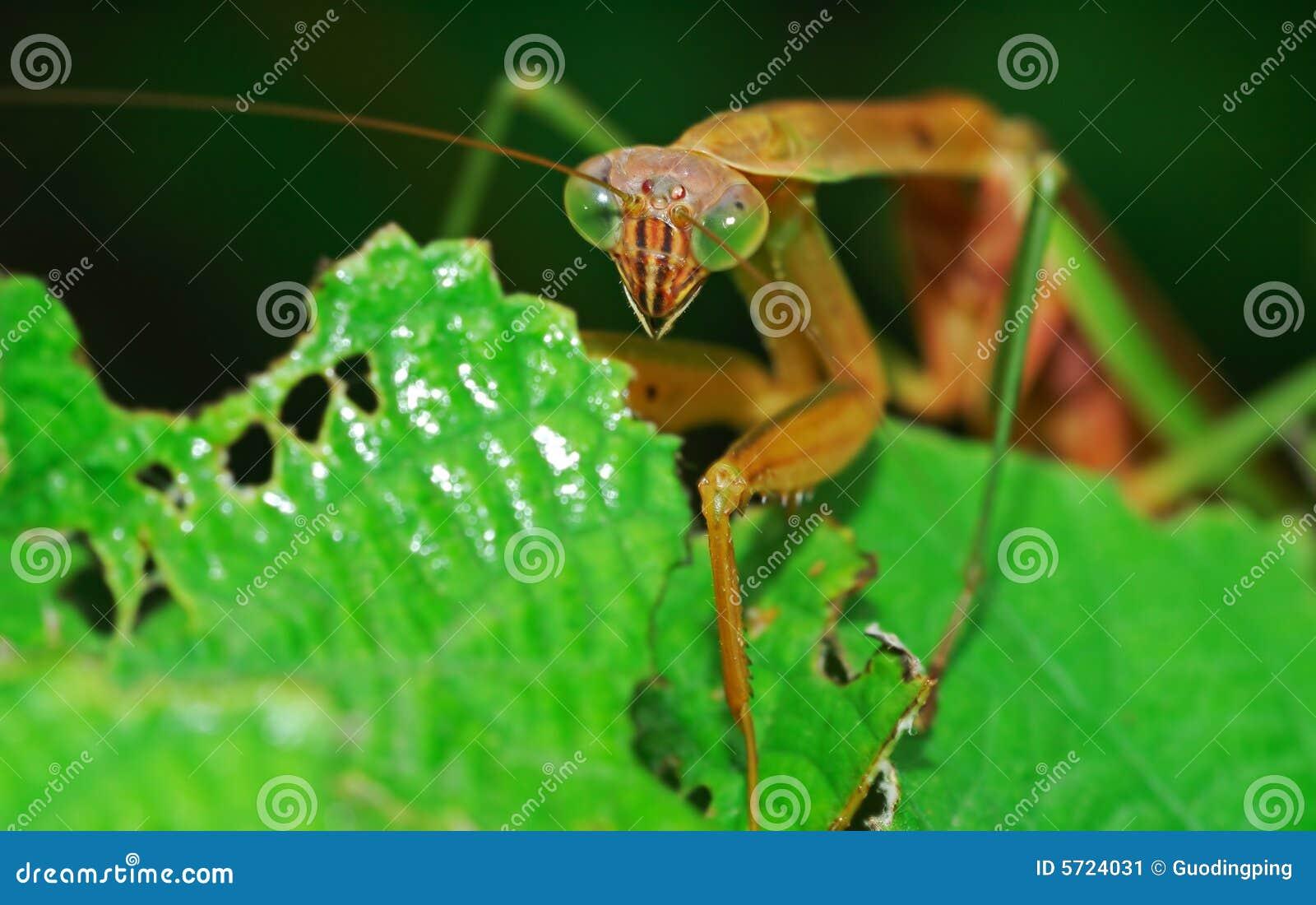 Mantis attaquant