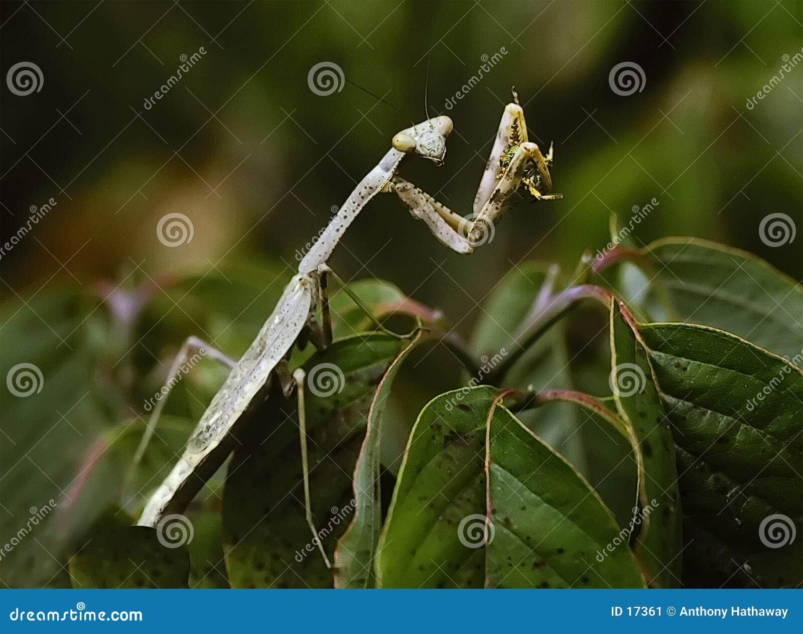 Mantis de prière