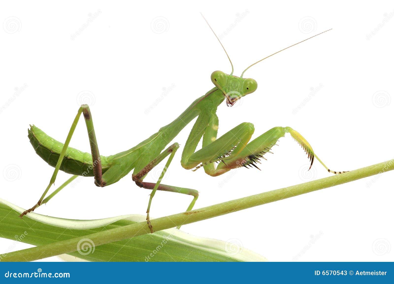 Mantis isolado no branco