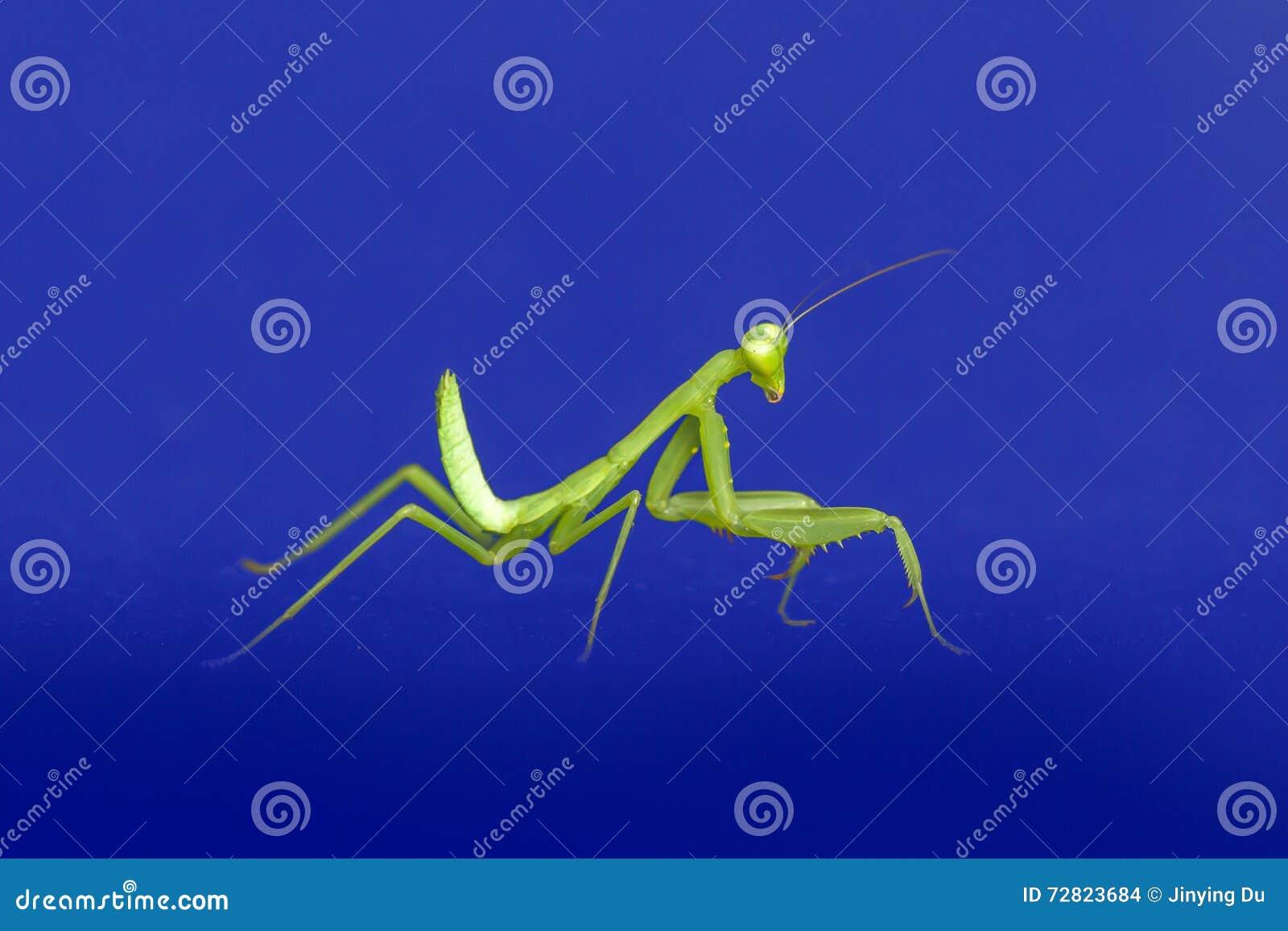 preying mantis isolated on blue background