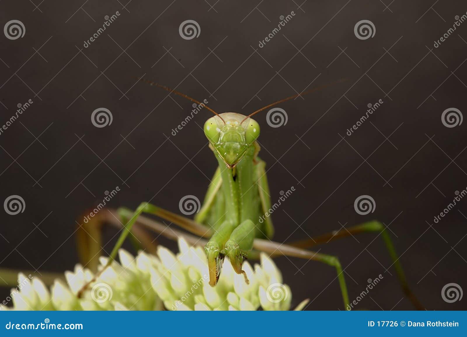 Mantis rapinando 2