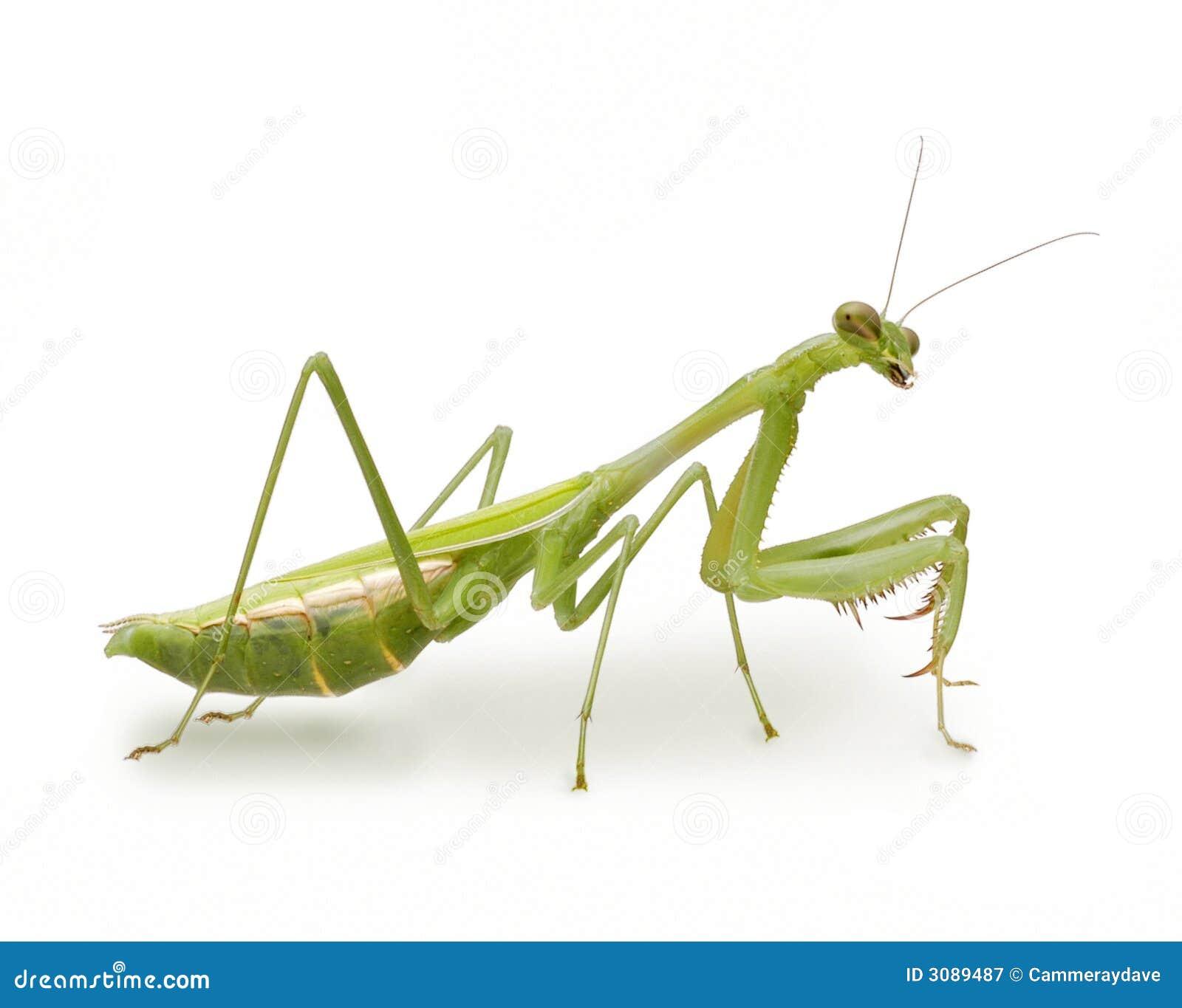 Mantis rapinando