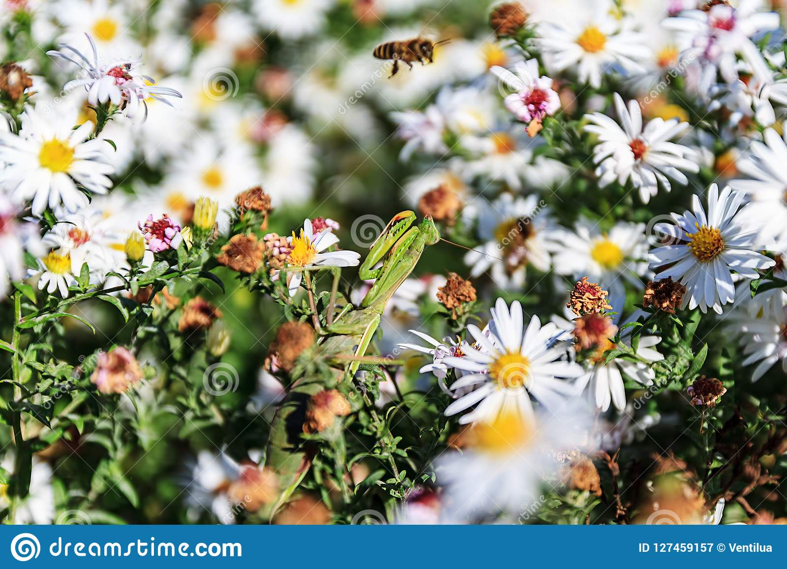 Mantis religiosa en la flor