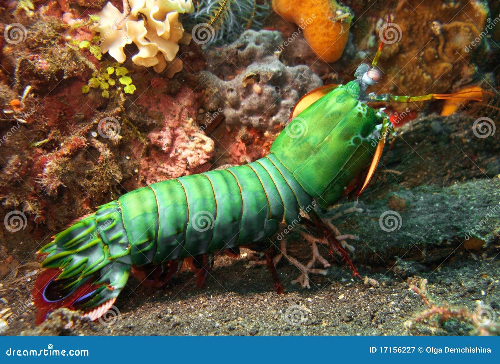 Mantisgarnele