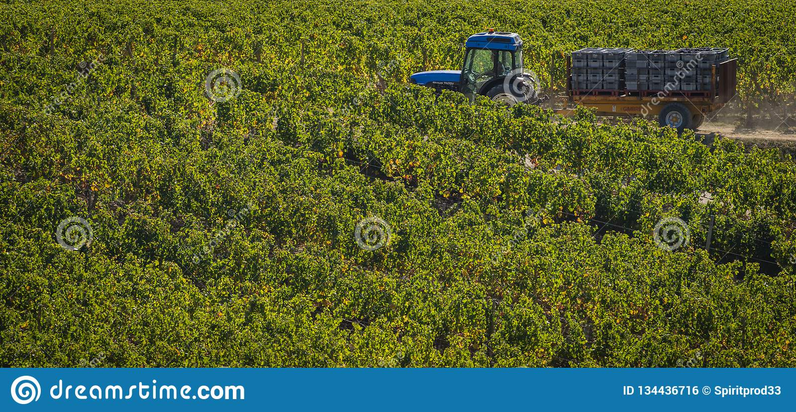 Manual harvesting in the Bordeaux vineyard