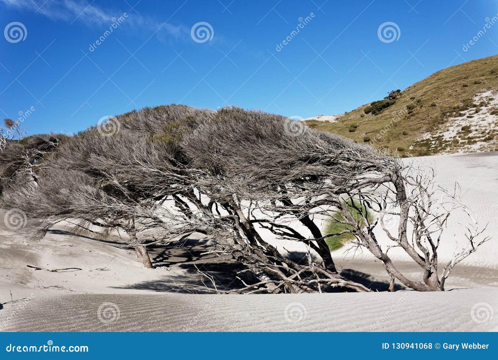 Manuka tree, New Zealand`s west coast