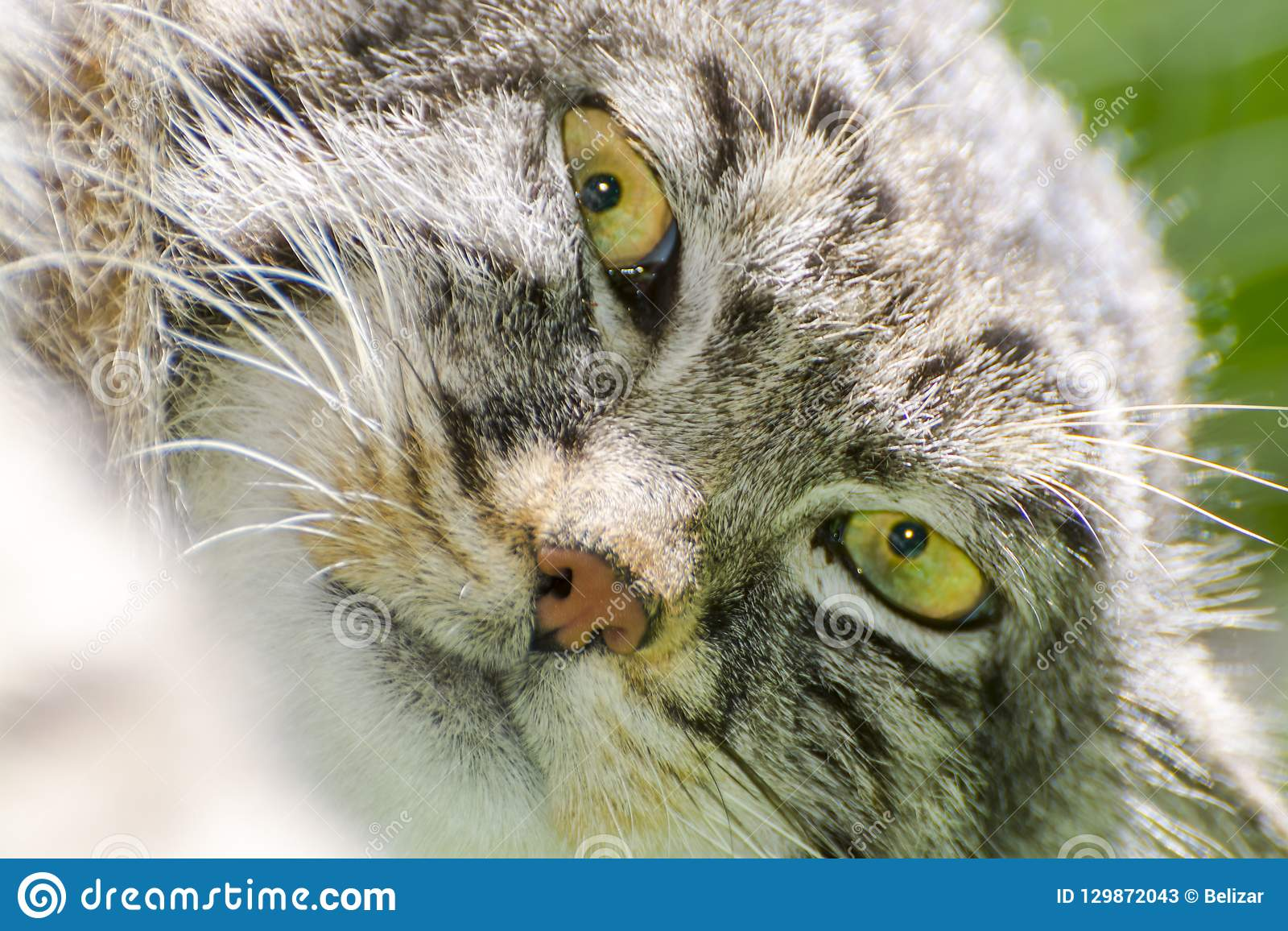 The Manul Face