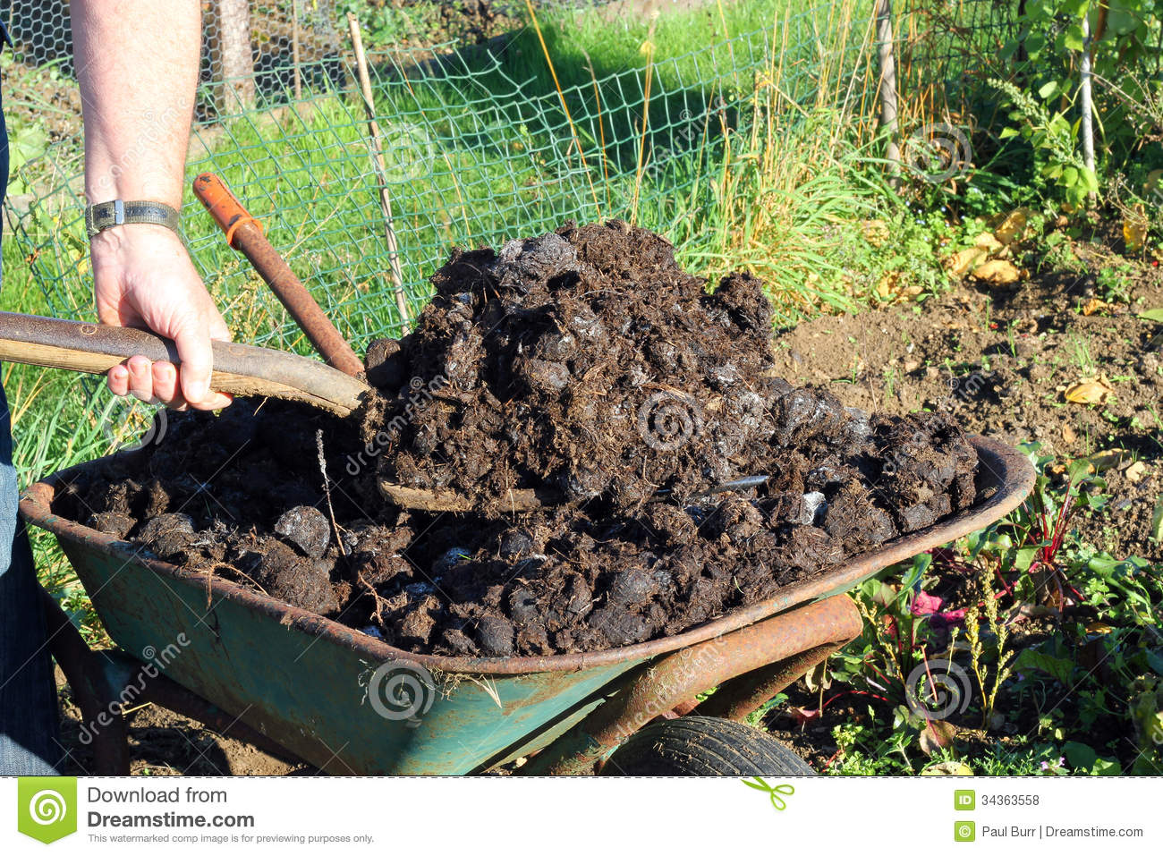 manure being shovelled from a wheelbarrow closeup royalty free stock