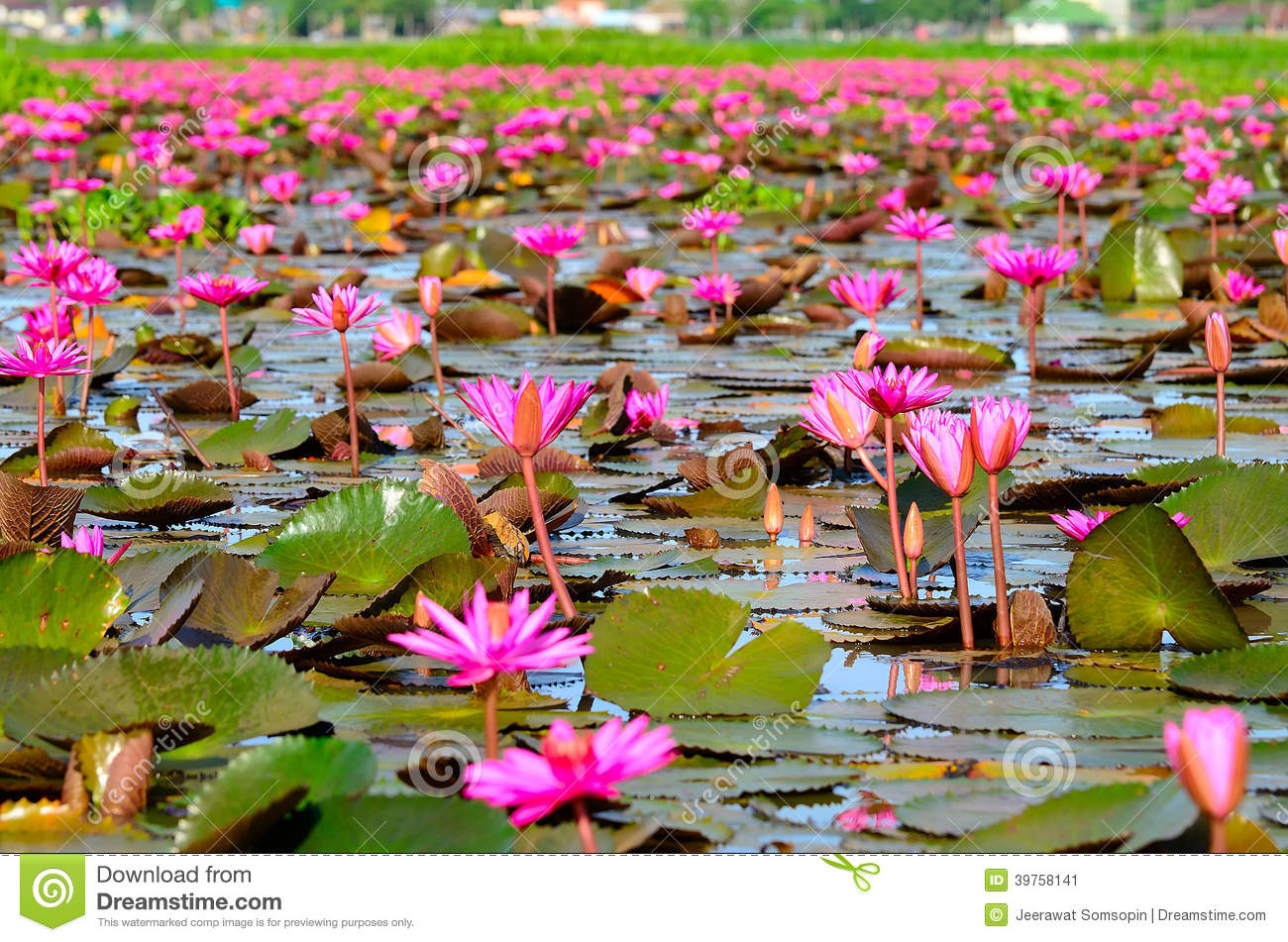 Many Beautiful Blossom Pink Lotus Flower In Lake Stock Image Image