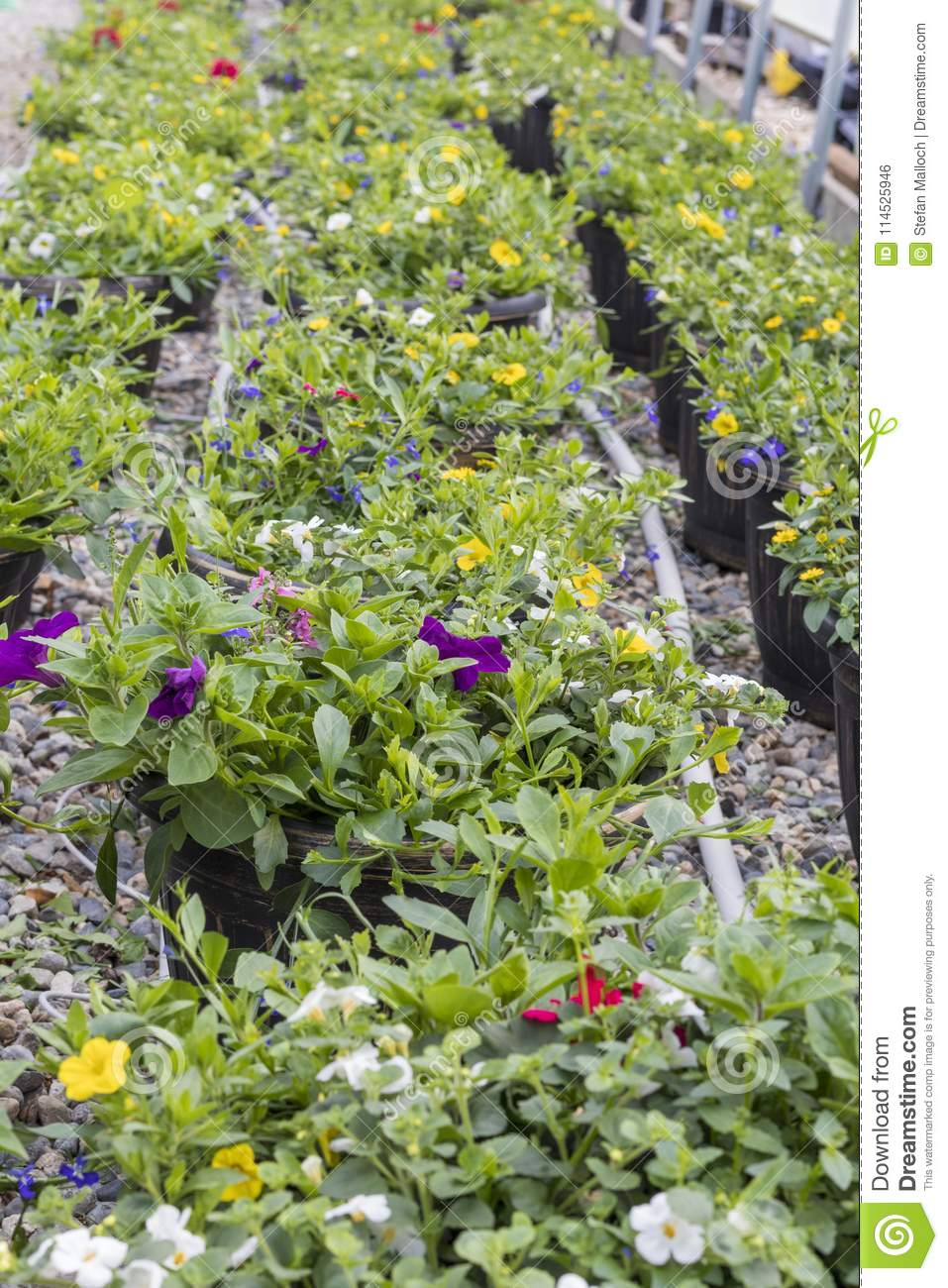 Many Beautiful Hanging Baskets In Rows In A Green House Stock Photo