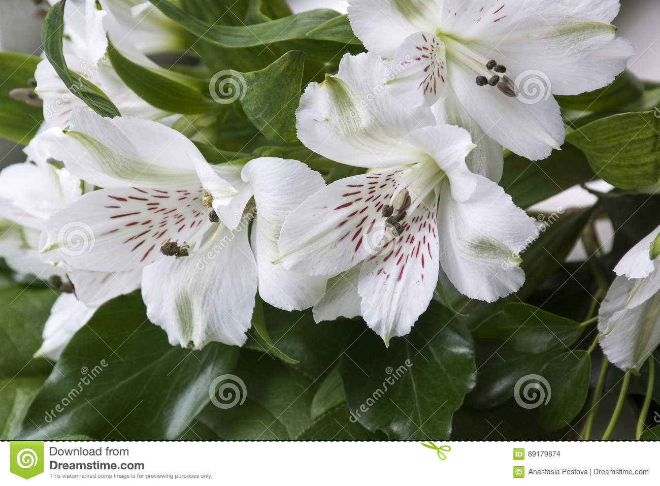 Many Big White Flowers With Green Leaves Stock Photo Image Of