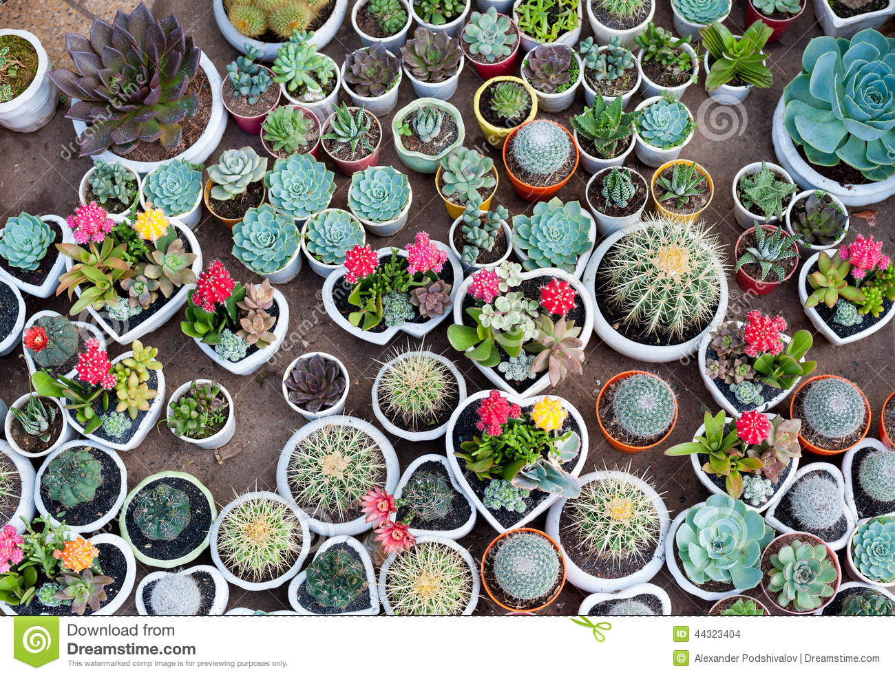Many cacti in pots stock photo image 44323404 Cactus pots for sale