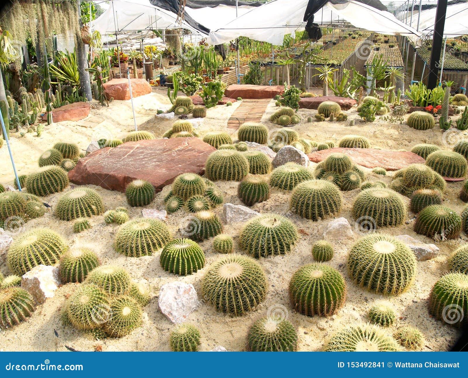 Many cactus trees planted around the large stone