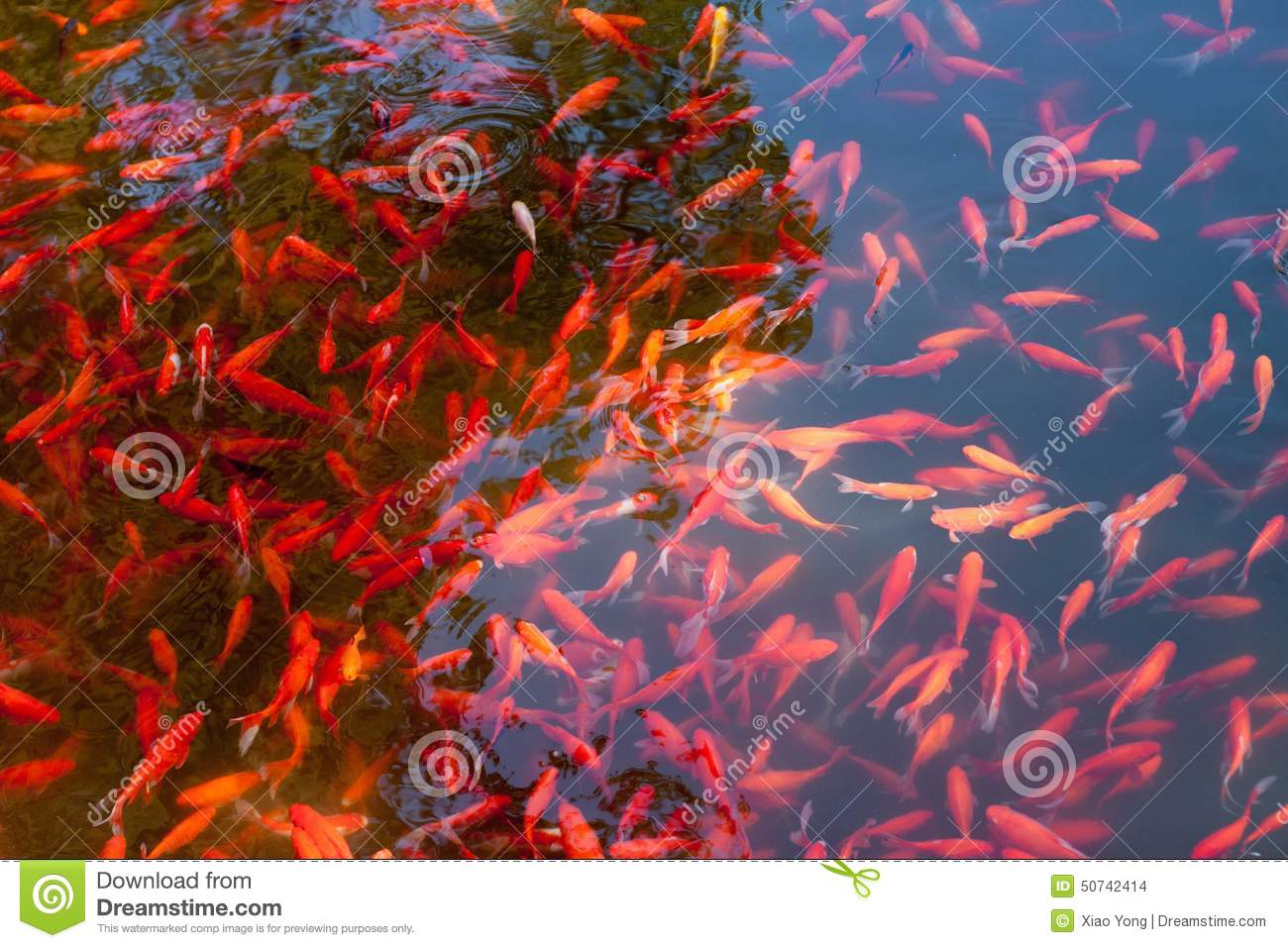 Cryprinus carpiod fishes stock photo. Image of artificial - 50742414
