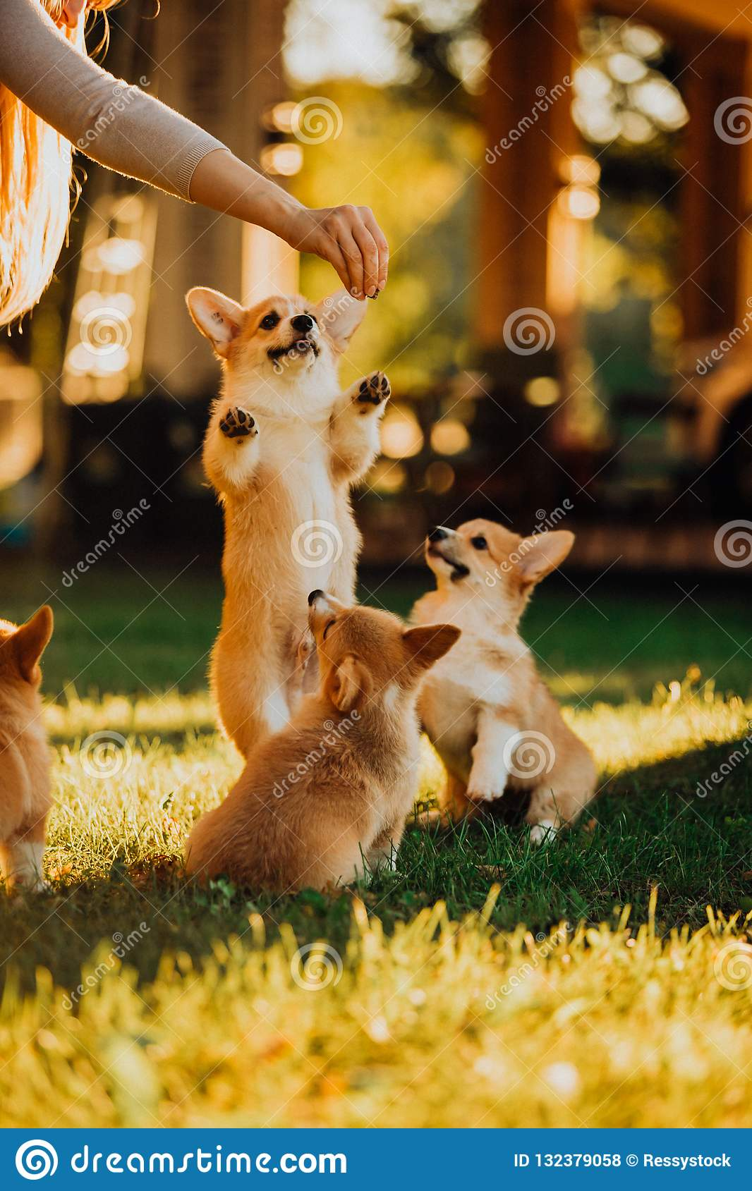 Many cute puppys Welsh corgi dog play on grass in sunshine. green park on background