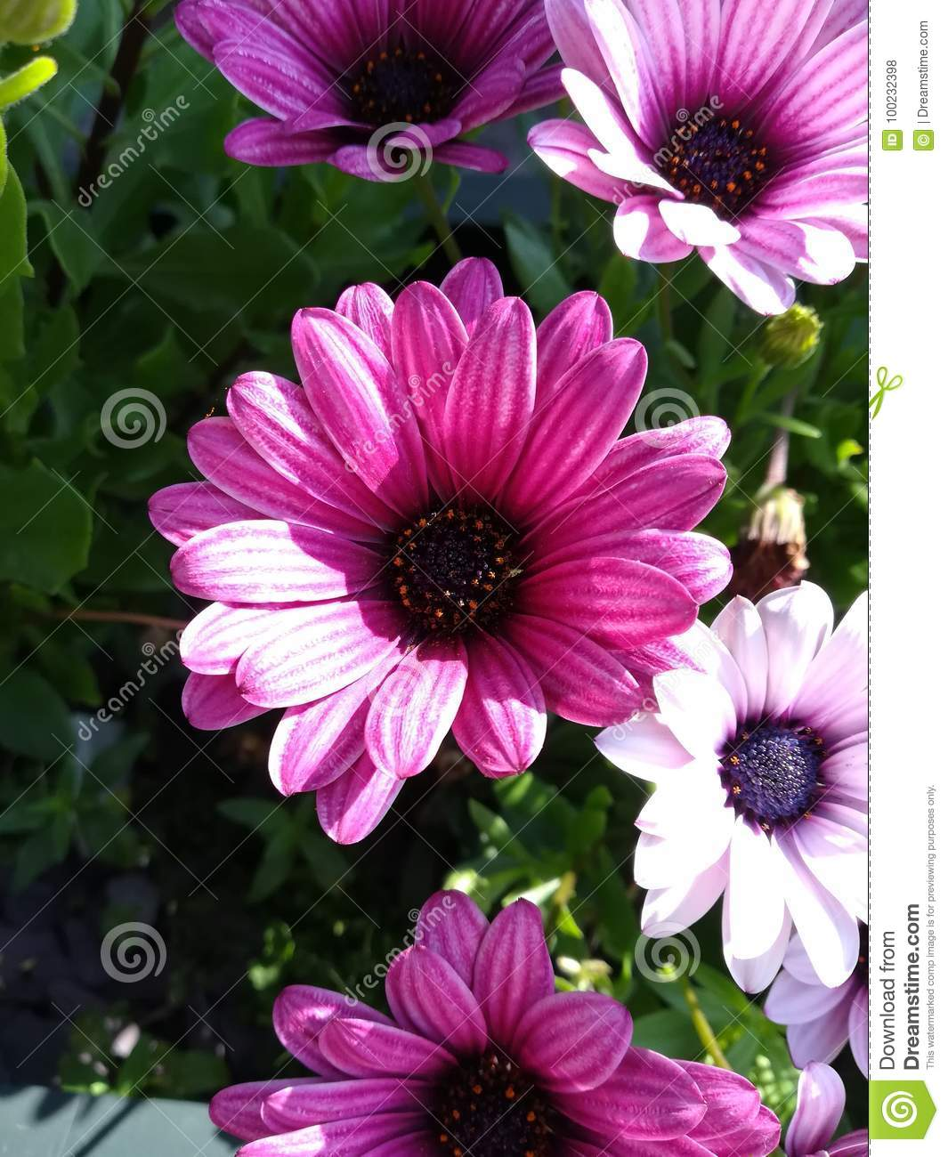 Flower settings stock photo image of chrysanths daisy 100232398 many diffrent types and settings of flowers in diffrent lighting izmirmasajfo