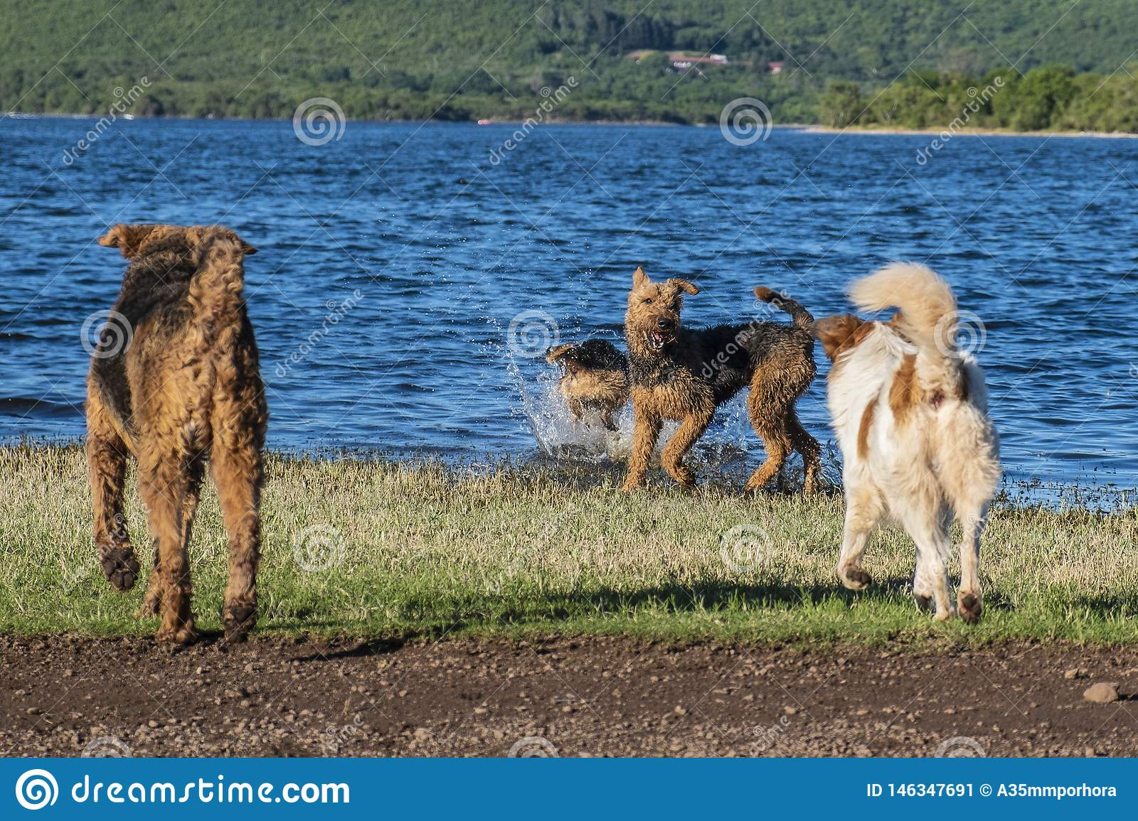 Many dogs playing on the shore of a lake
