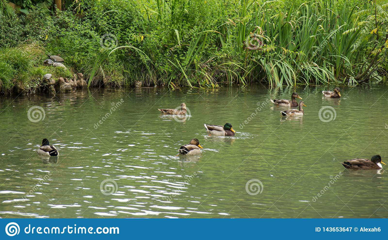 Many ducks swimming in pond